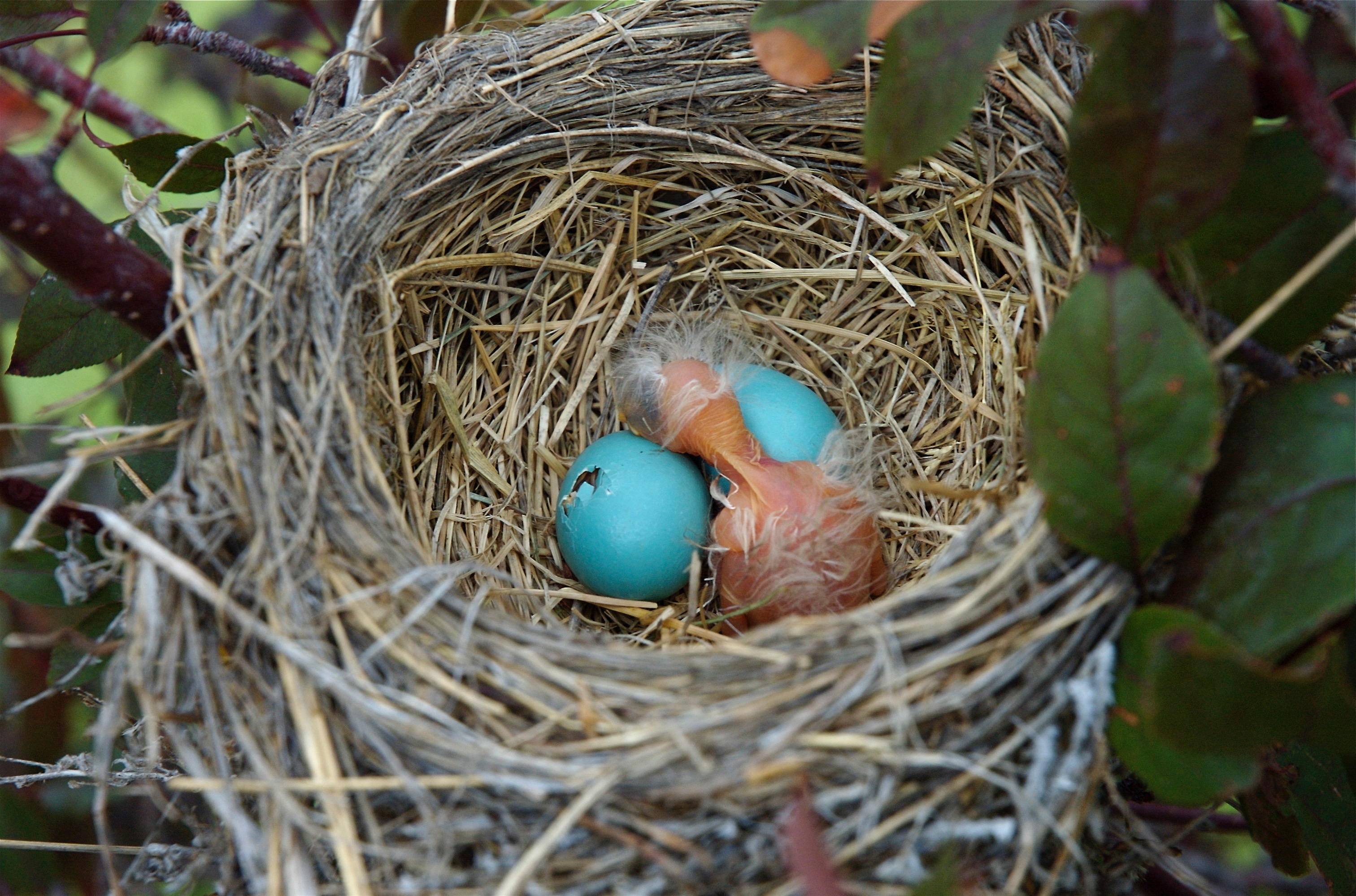 Baby Robin Hatching