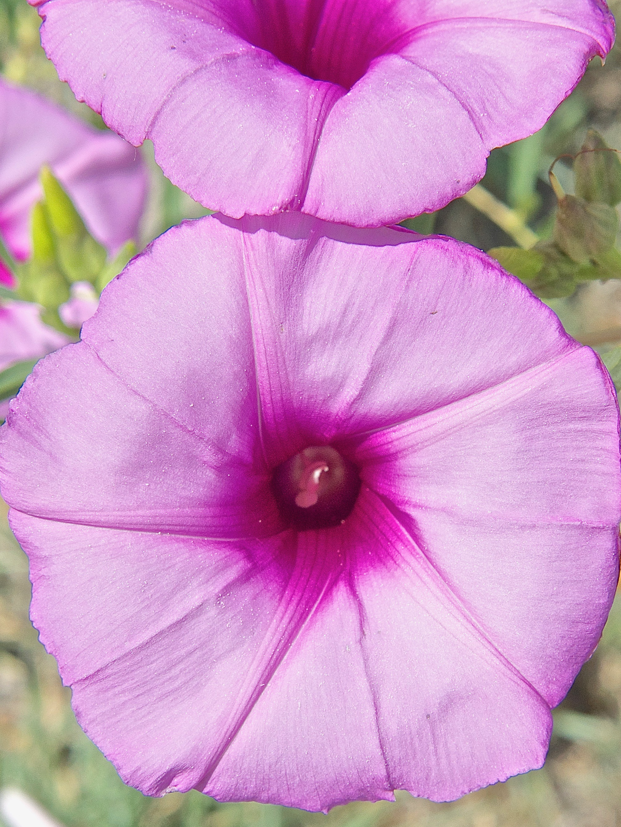 Bush Morning Glory (Ipomoea leptophylla)