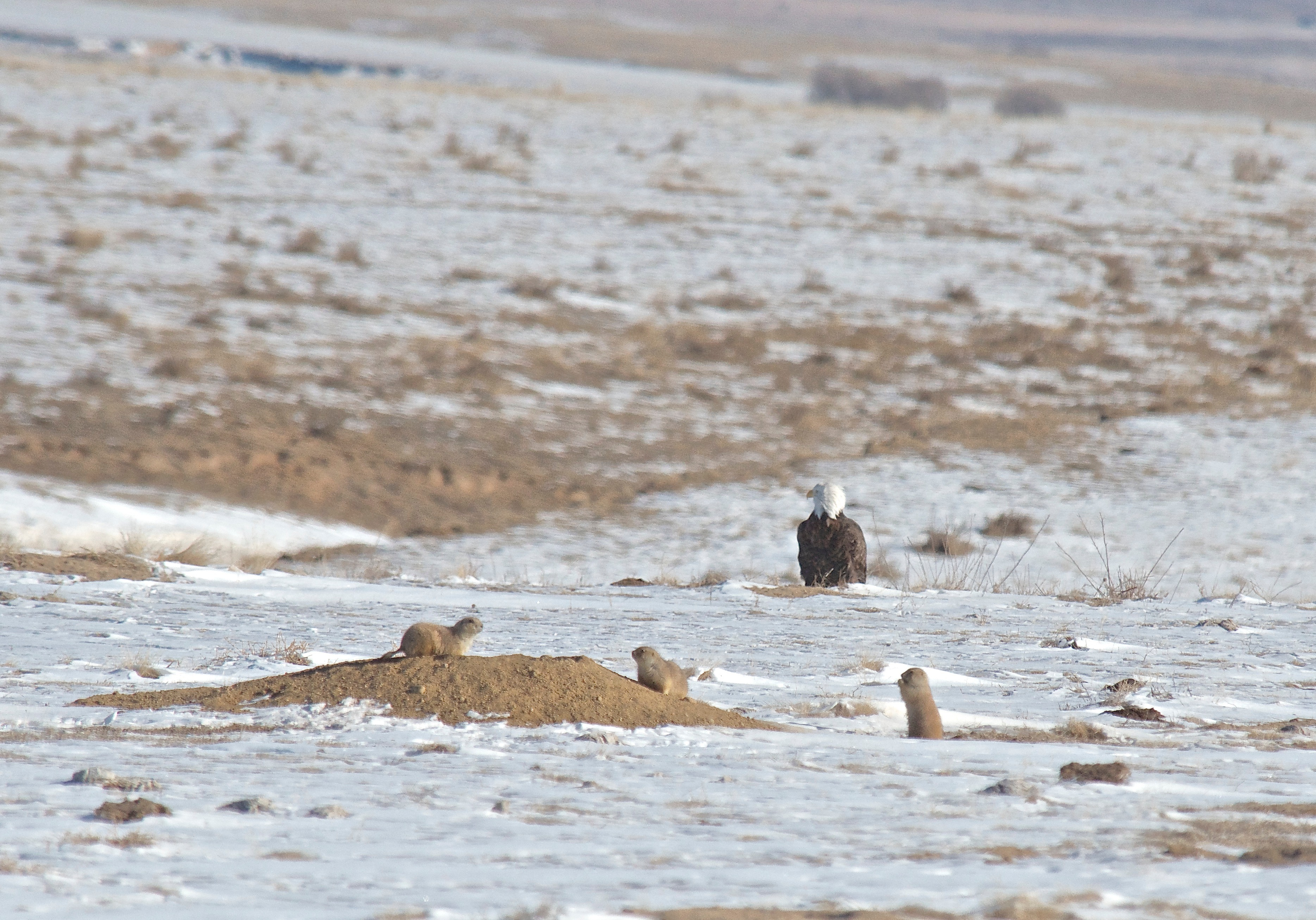 Bald Eagle with Prairie Dogs