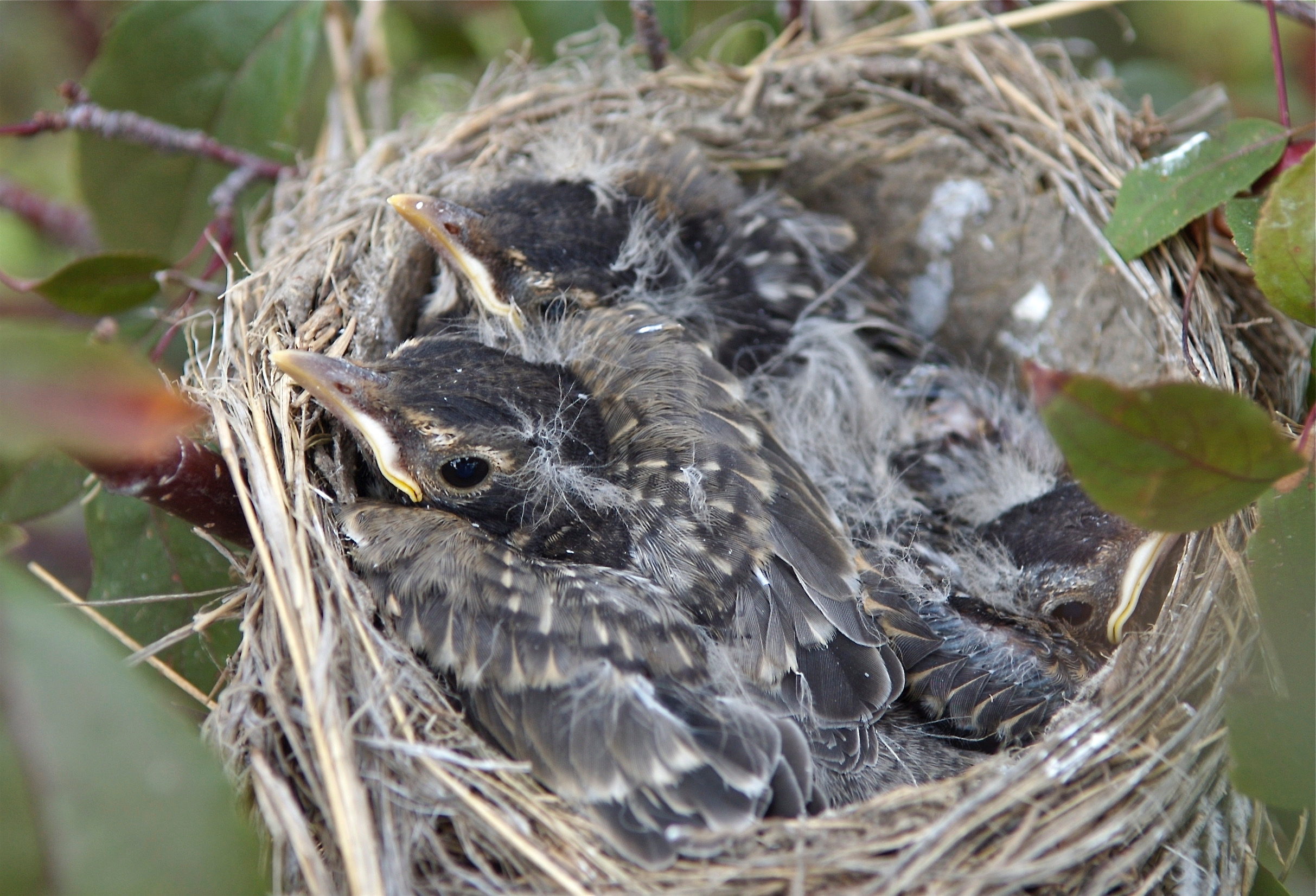 Baby Robins in Nest
