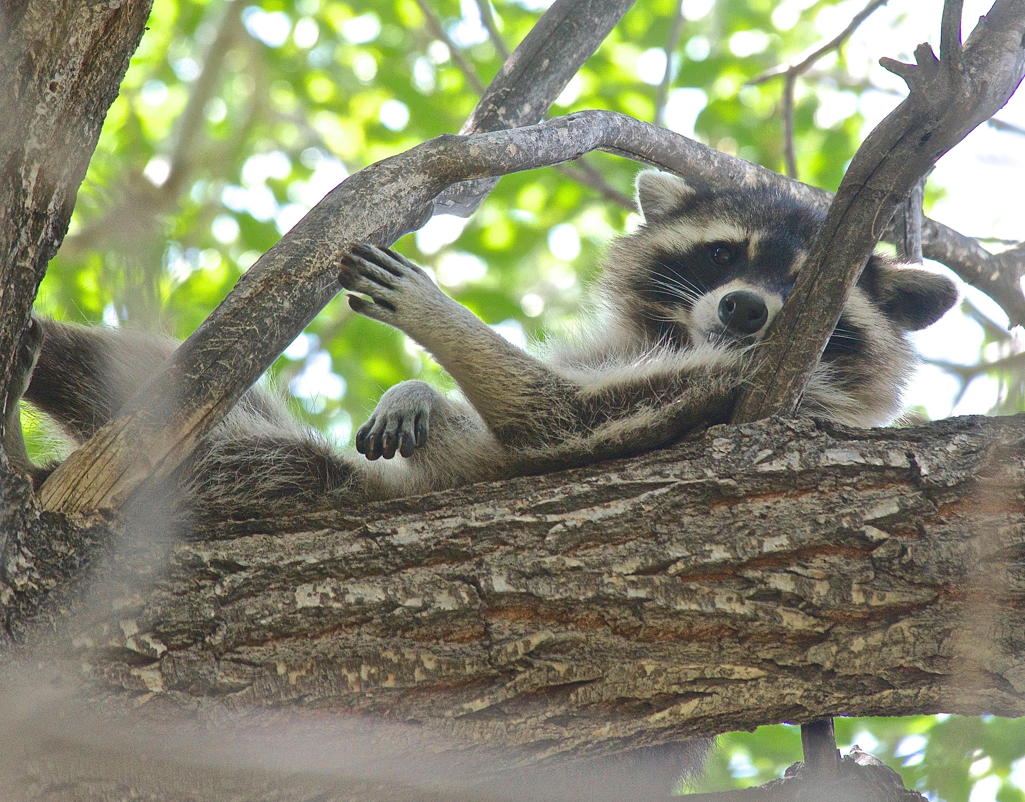 Raccoon Awakening