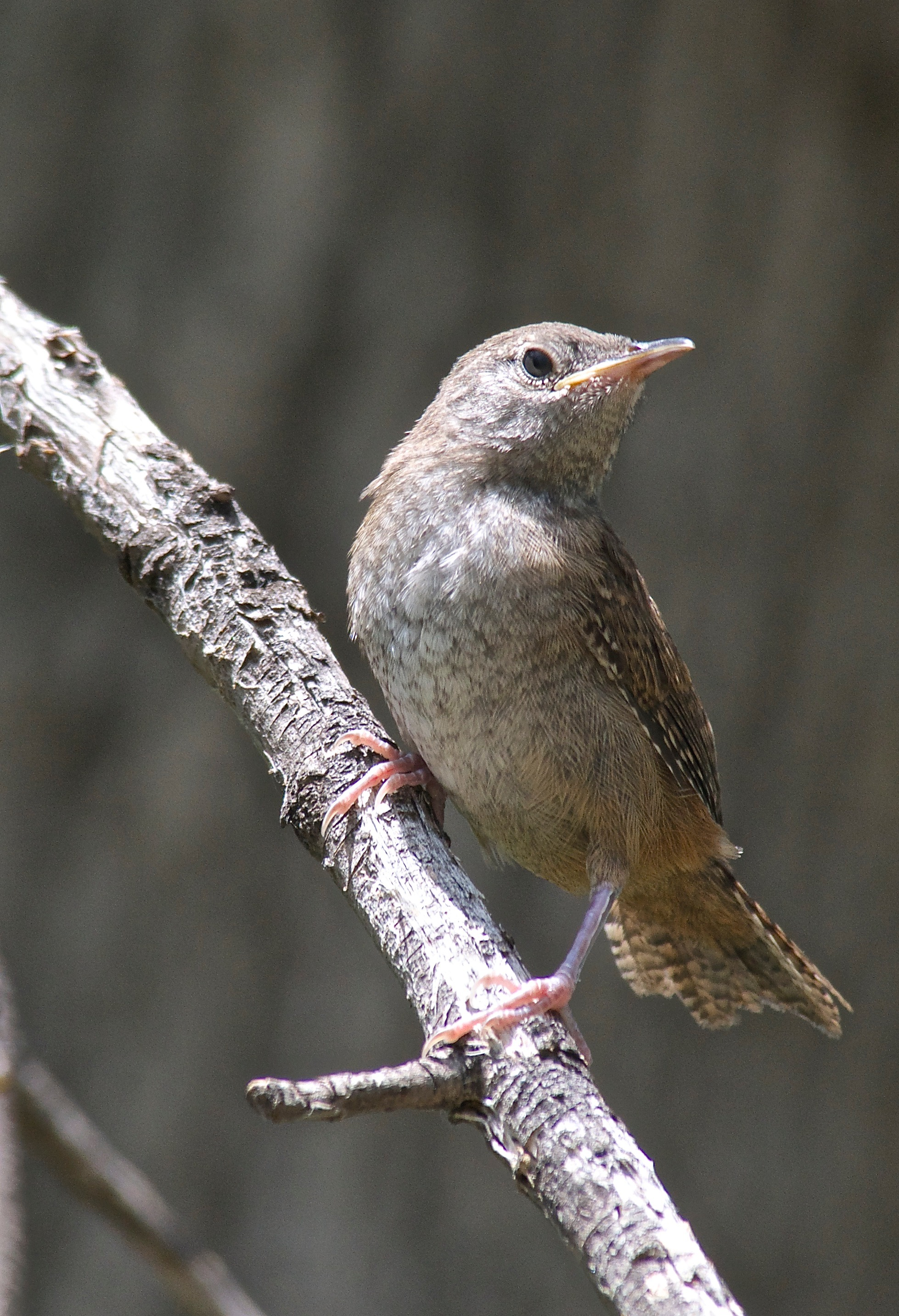 Young House Wren
