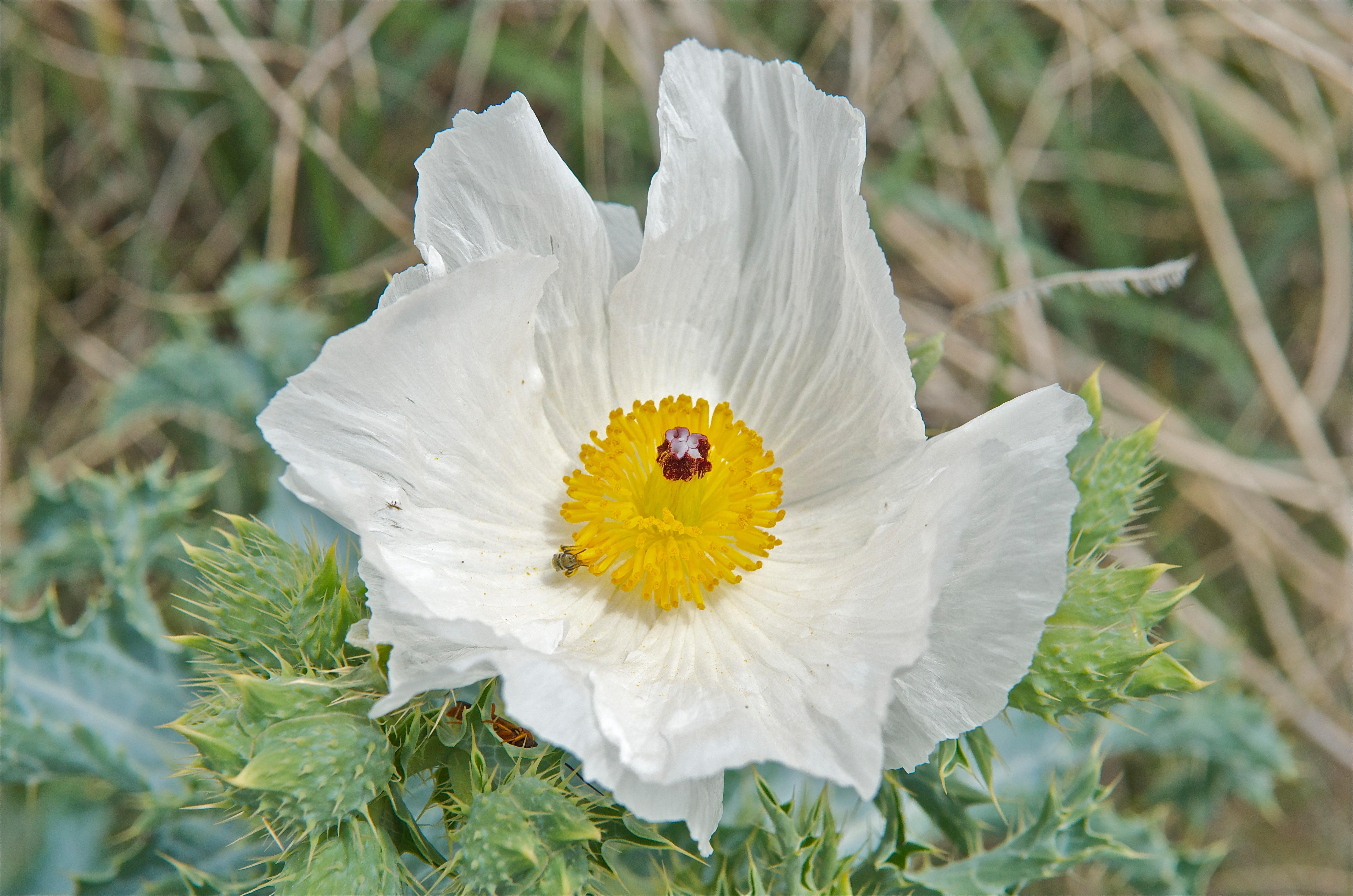 Prickly Poppy (Argemone polyanthemos)