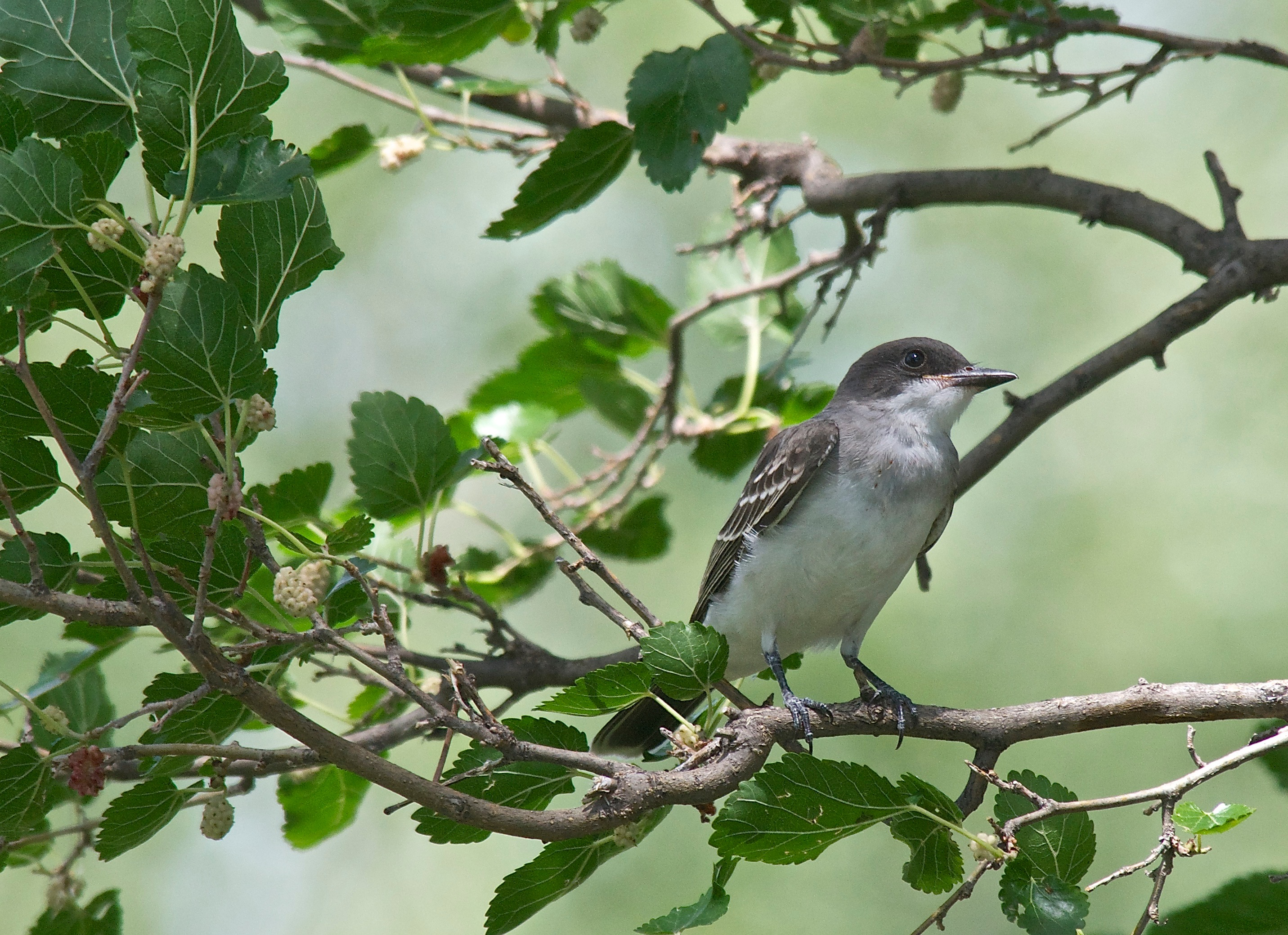 Eastern Kingbird in a Mulberry Tree