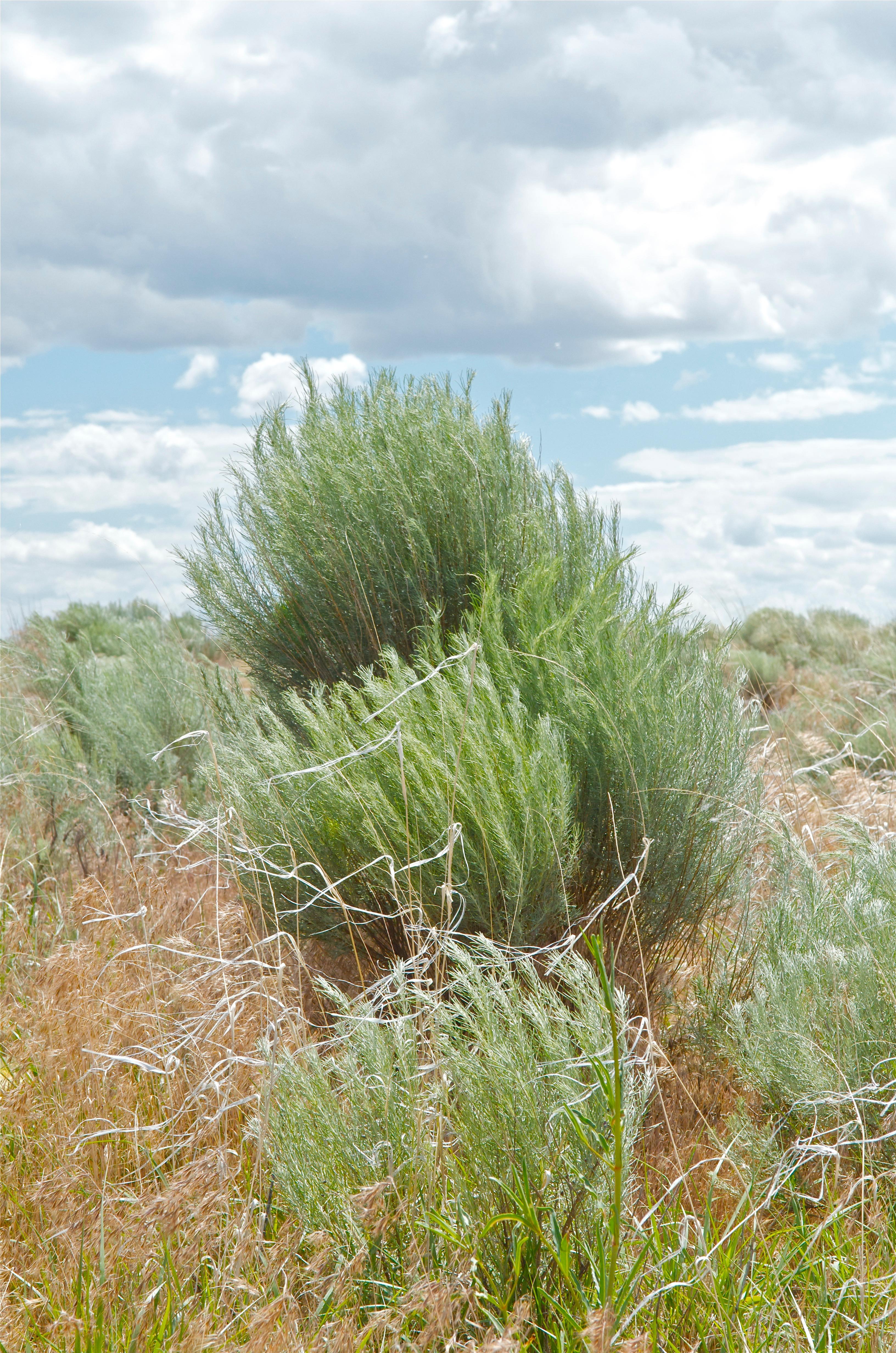 Sand Sage (Oligosporus filifolius)