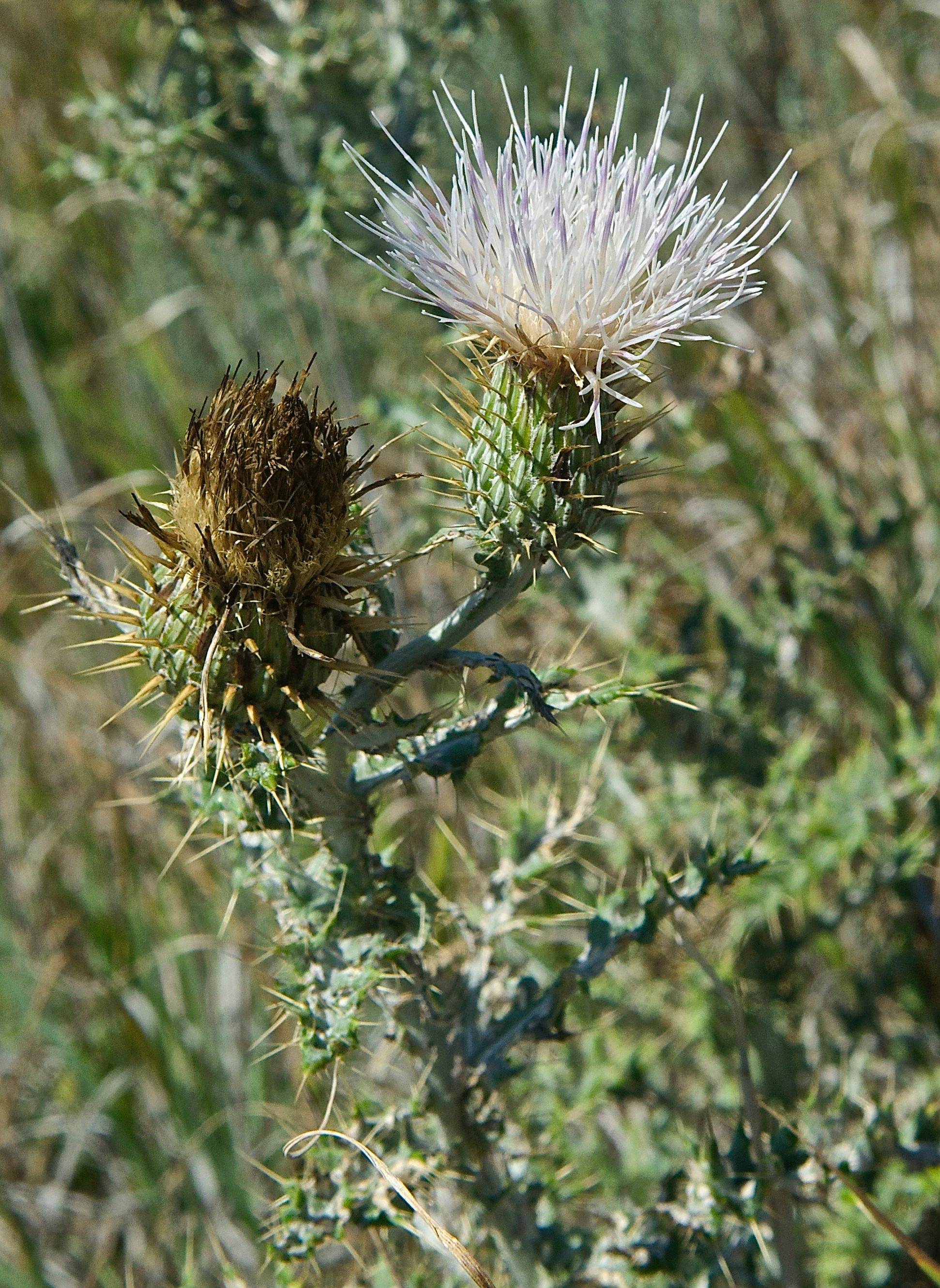 Yellowspine Thistle (latte?)