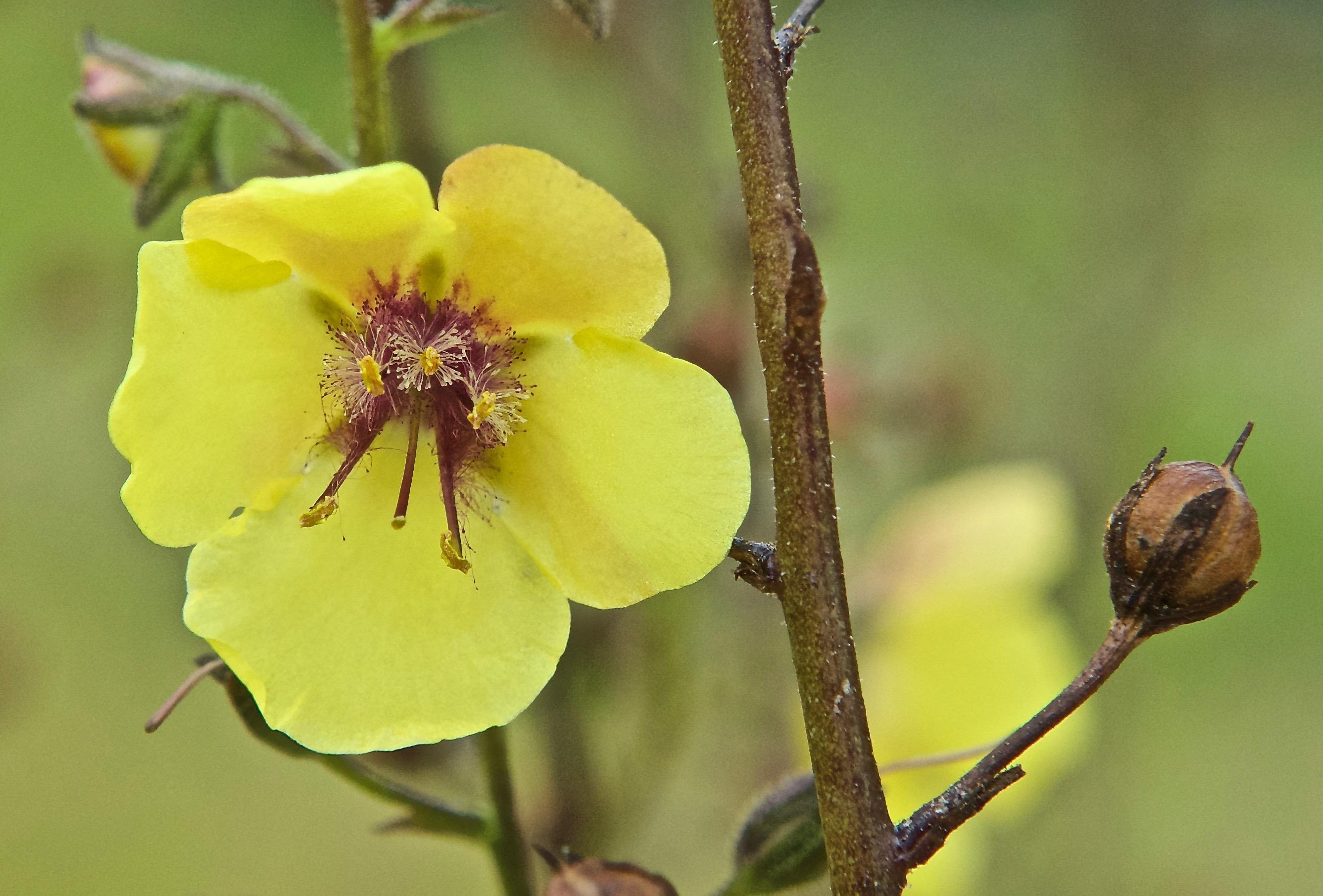 Moth Mullein  (Verbascum blattaria) (Noxious)