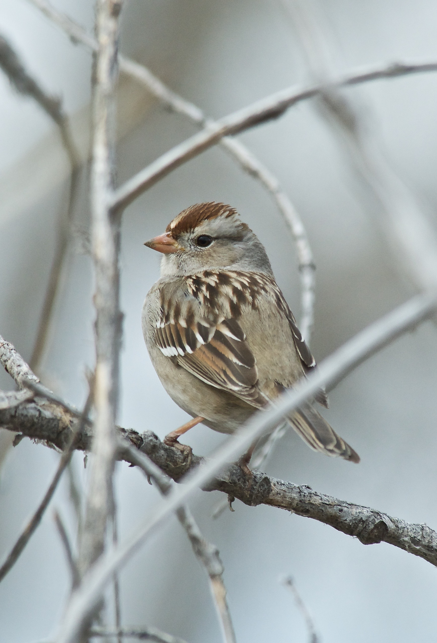 White-Crowned Sparrow (First Winter)