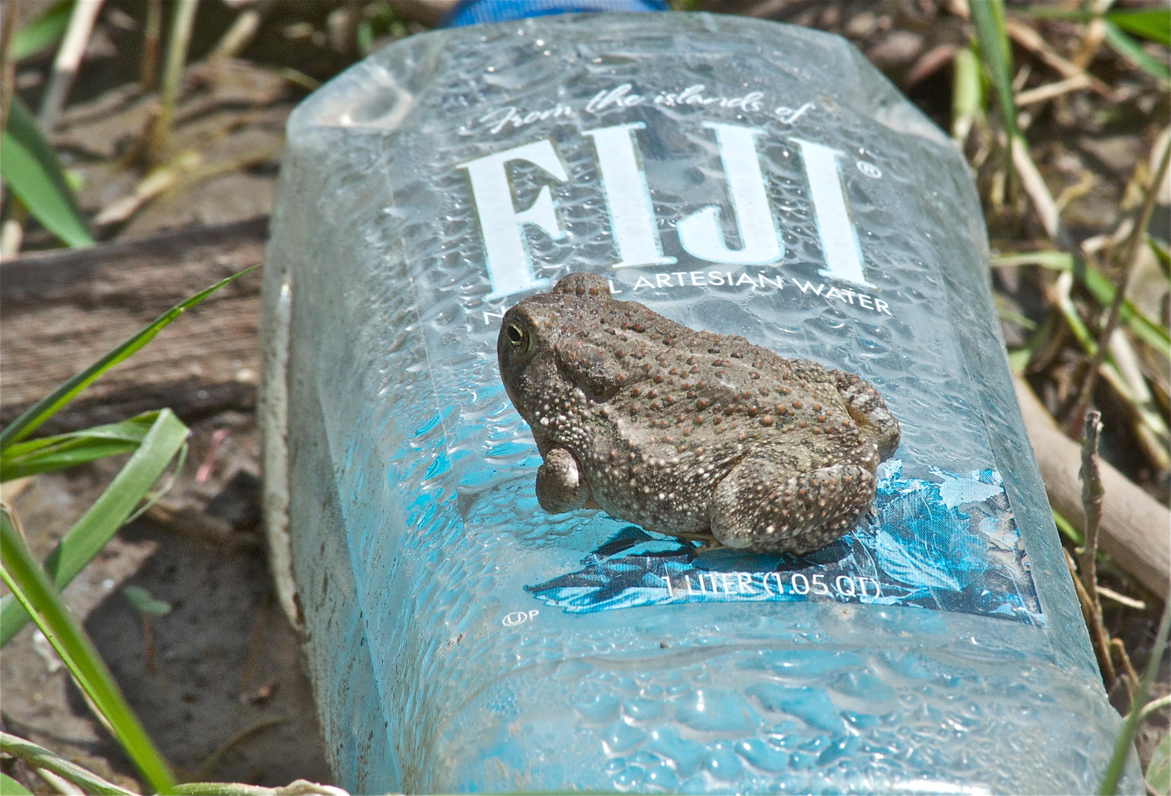 Toad on FiJi Bottle