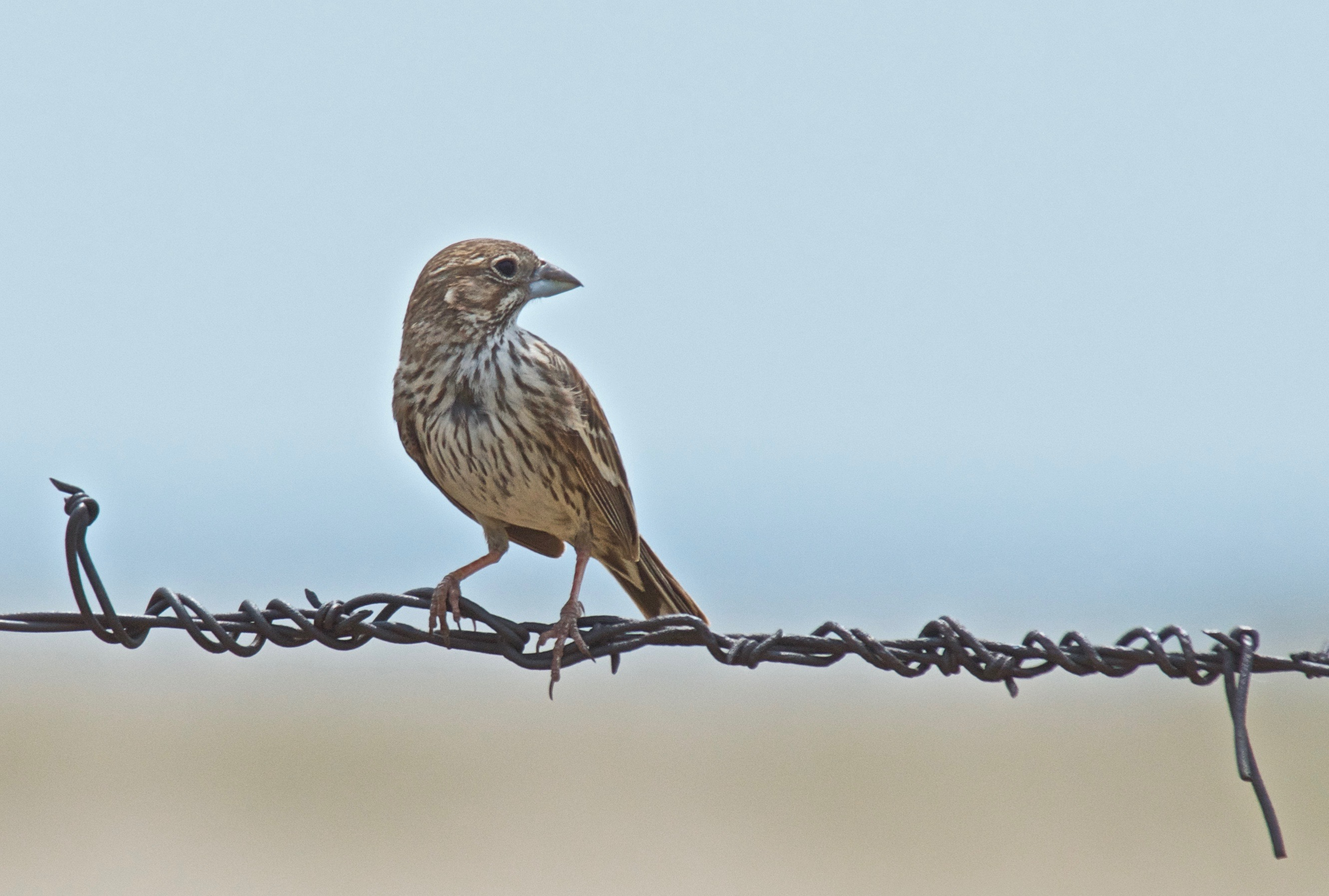 Lark Bunting ♀ Riding the Splice