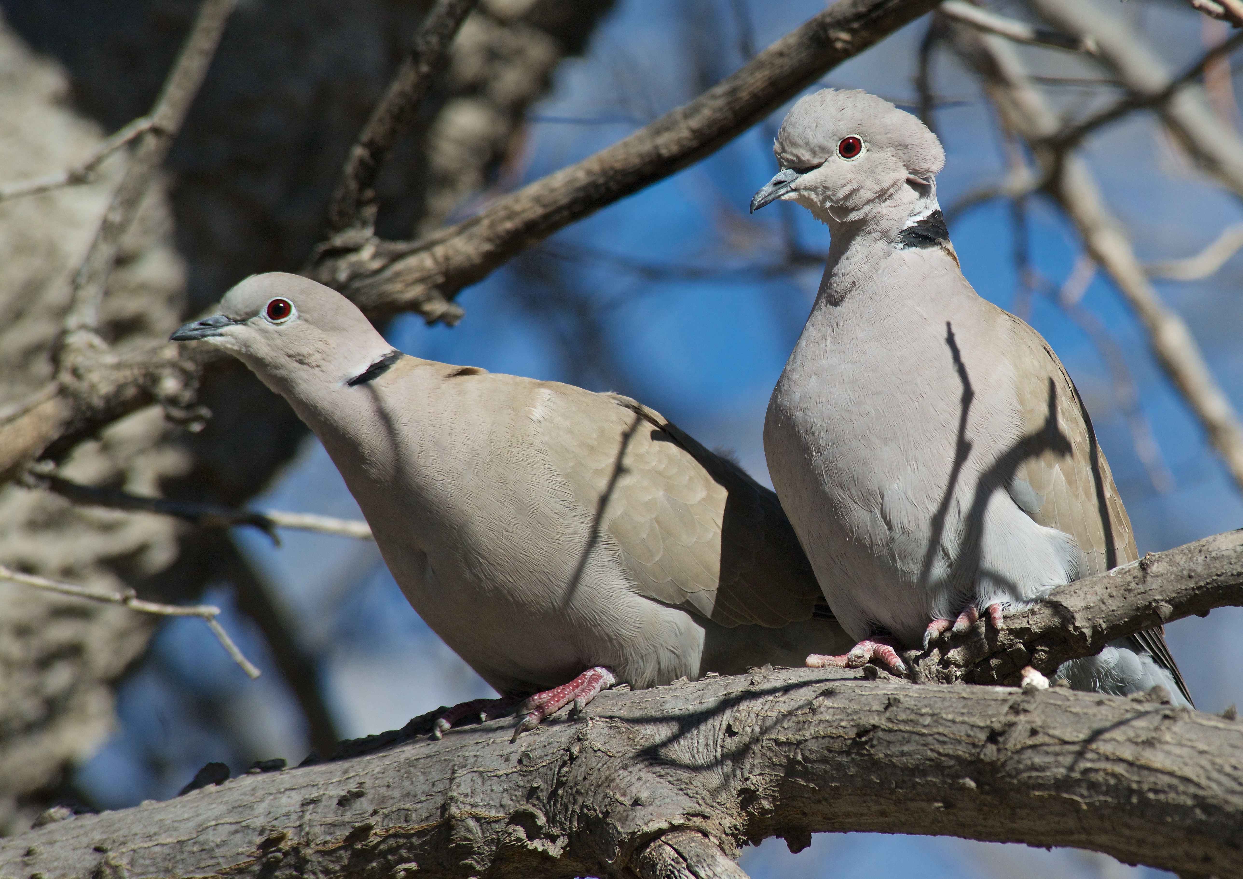 Asian Collared Doves