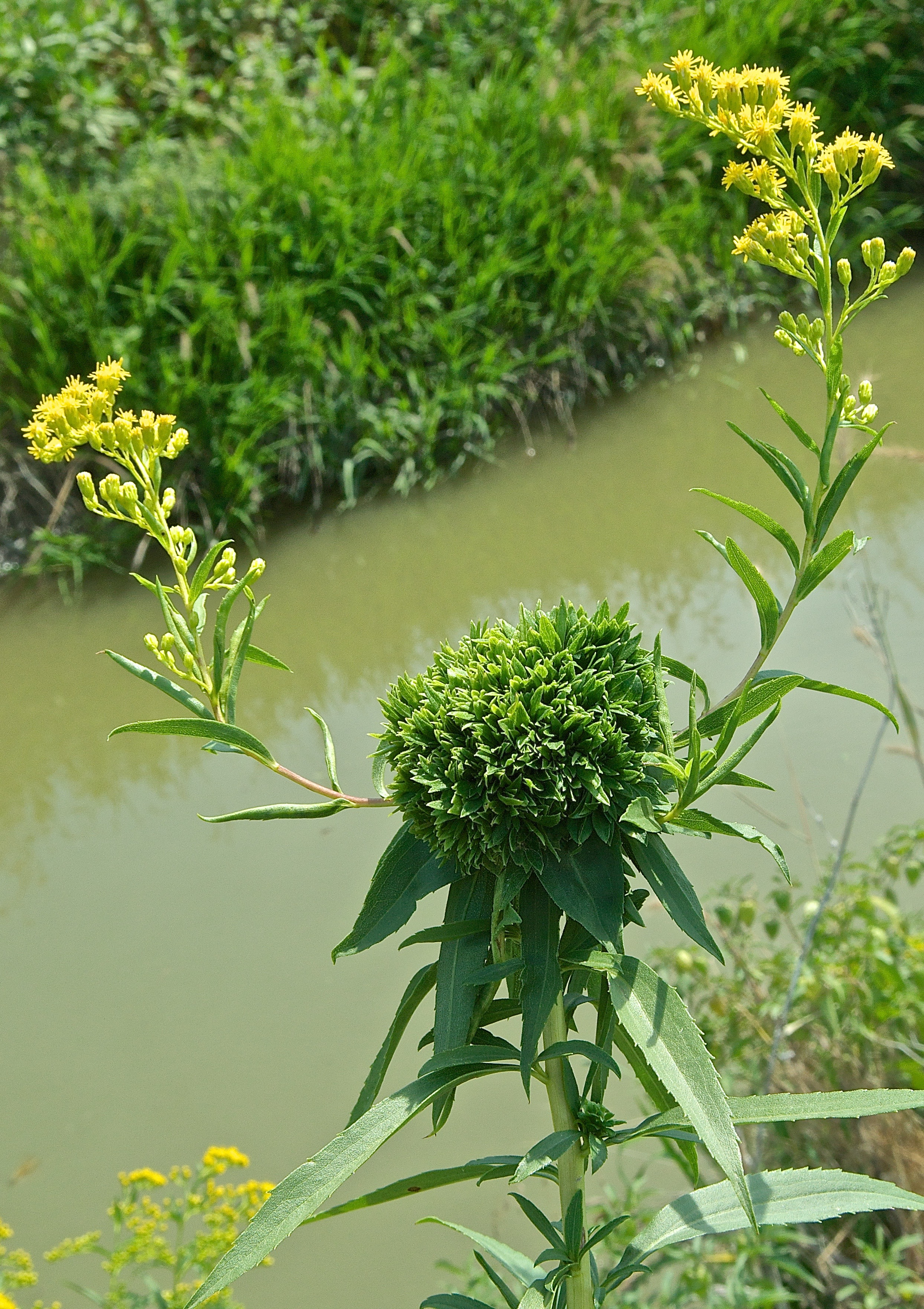 Goldenrod Rosetta Gall (Caused by G.R. Midge)