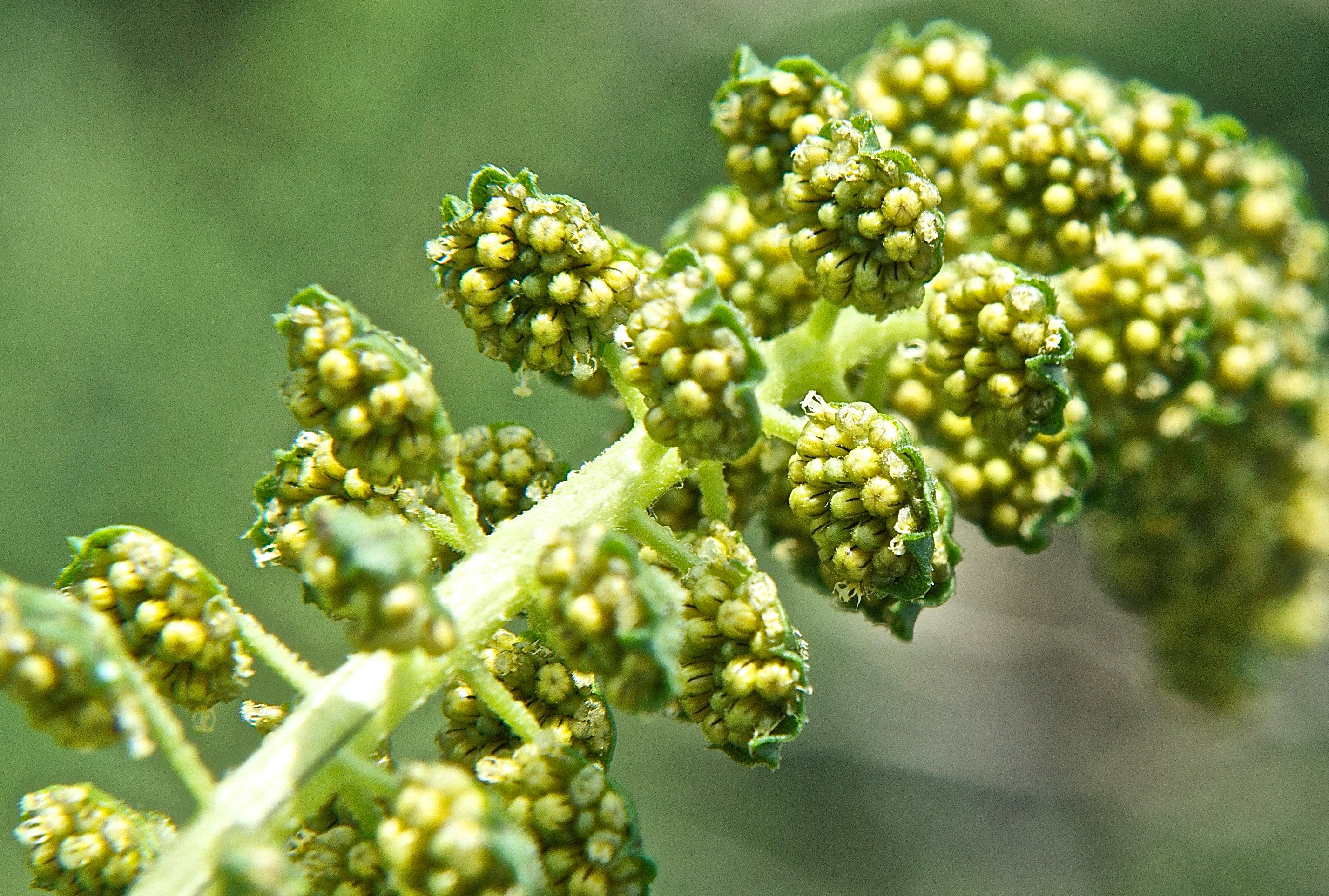 Giant Ragweed (Ambrosia trifida) Male Blooms