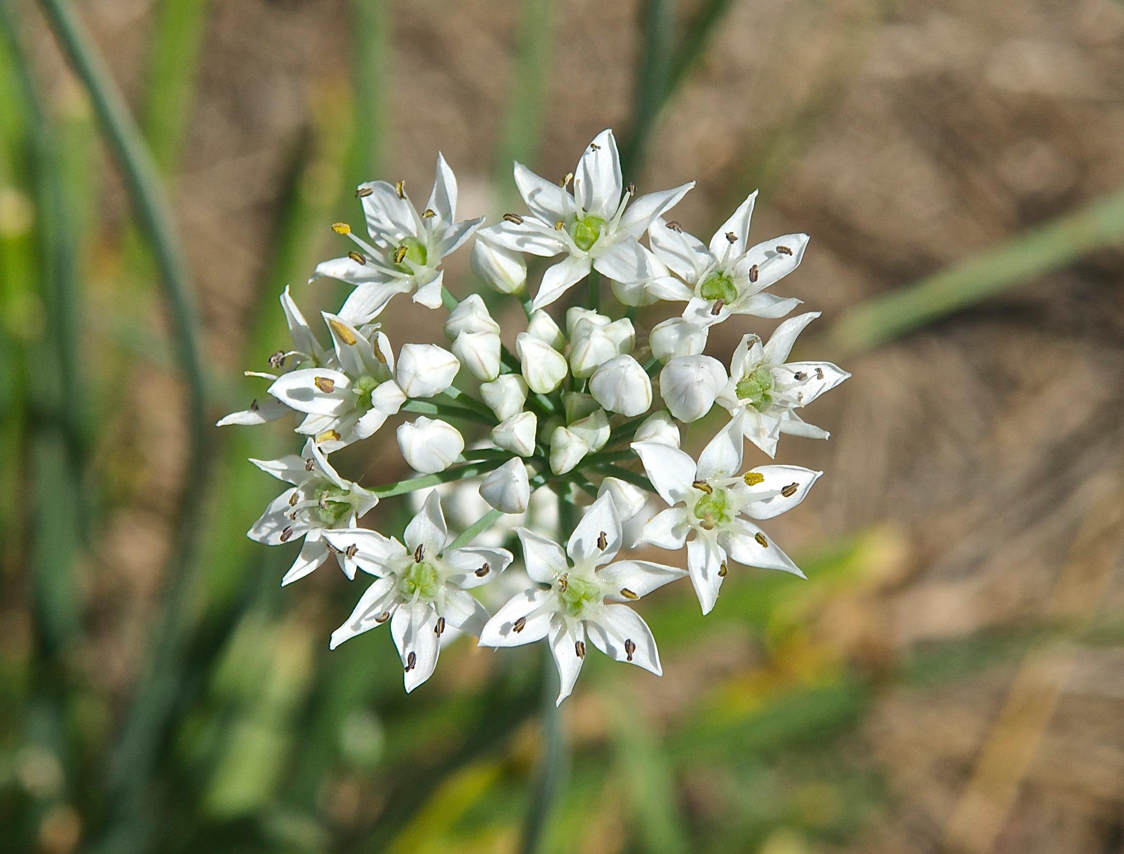 Wild Onion (Allium validum or A. canadense) (unknown)