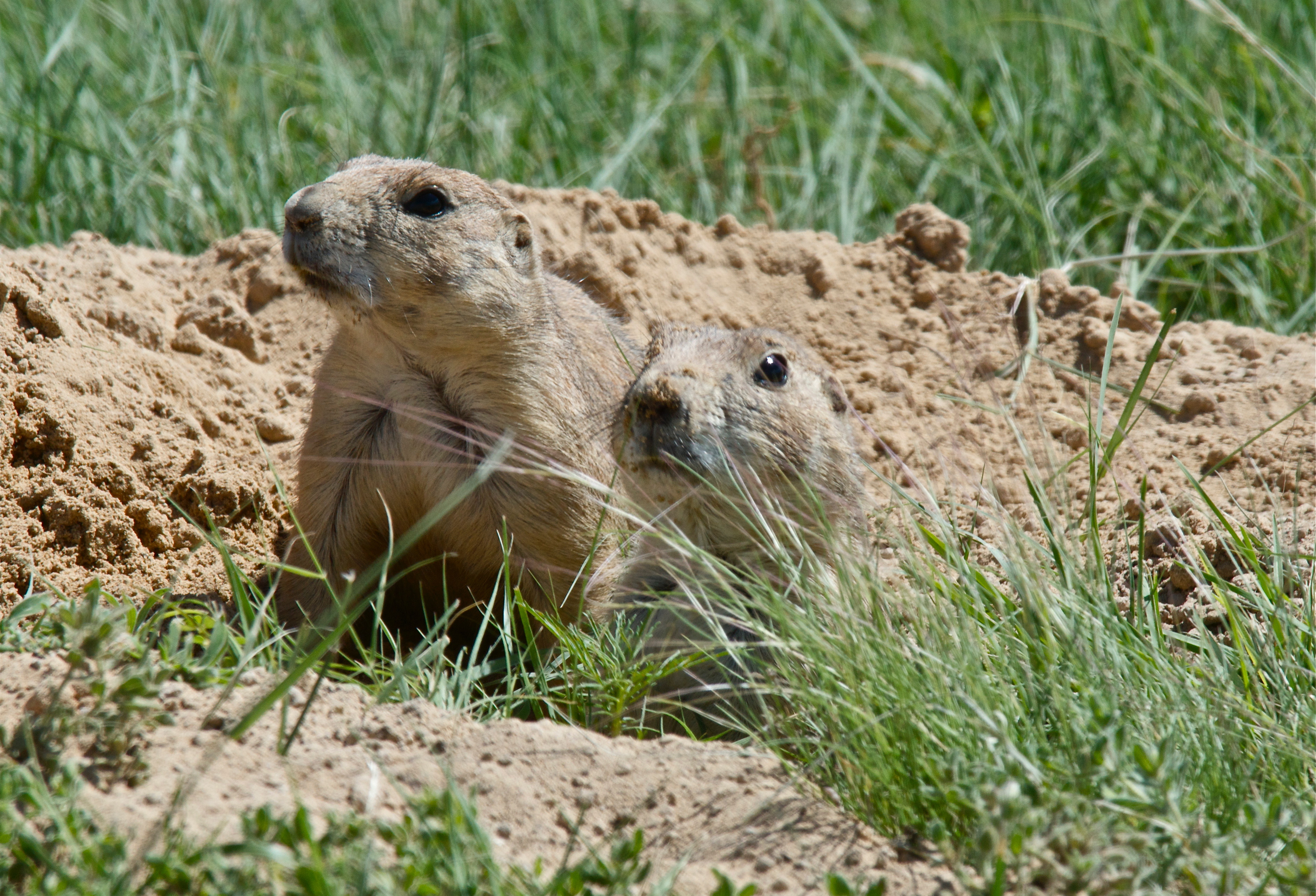Prairie Dogs at Inlet Grove