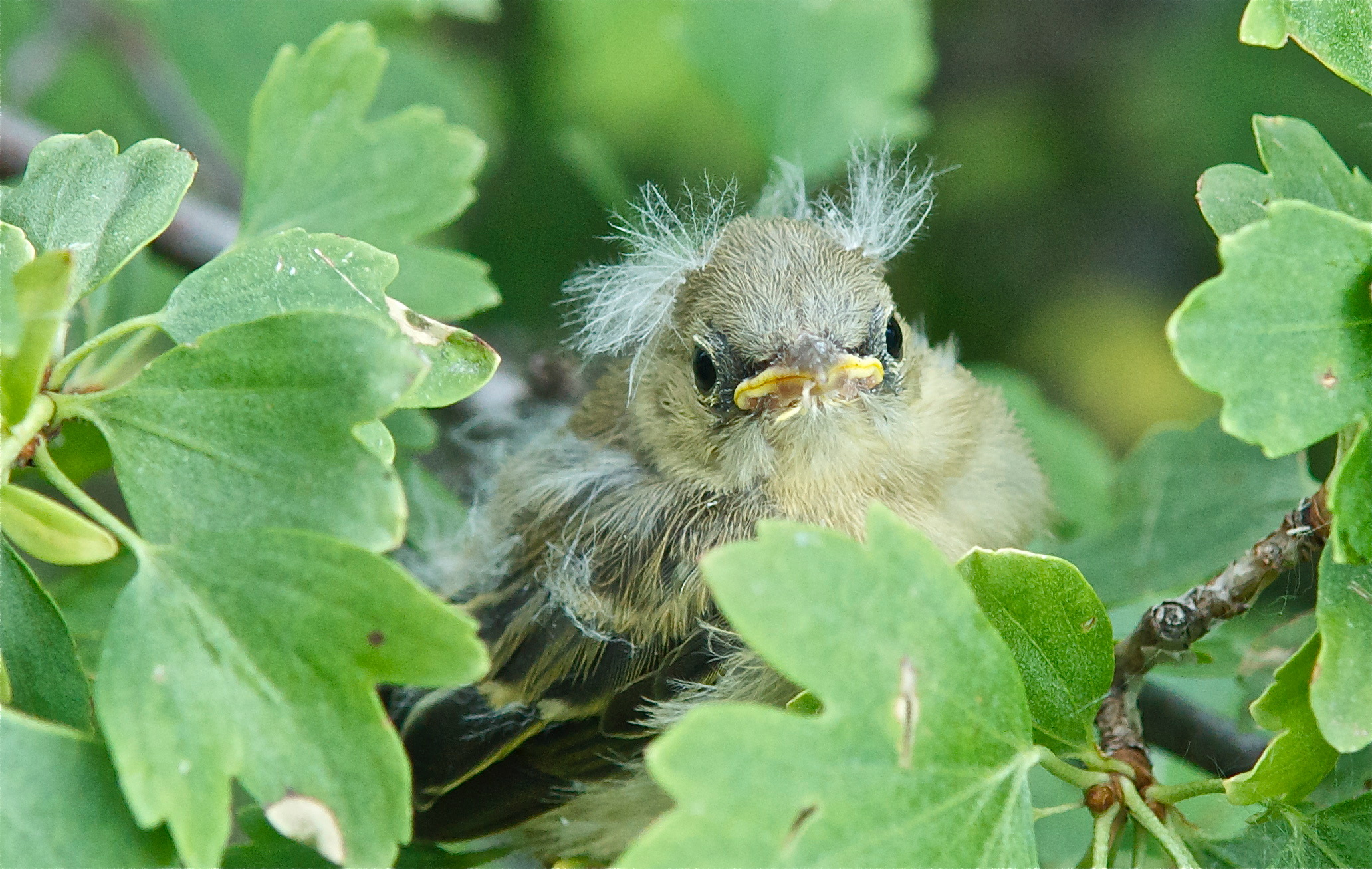 Yellow Warbler Baby
