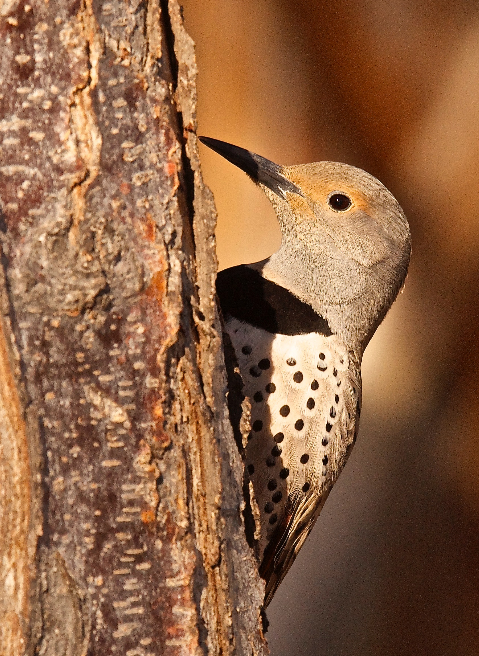 Red-Shafted Flicker ♀