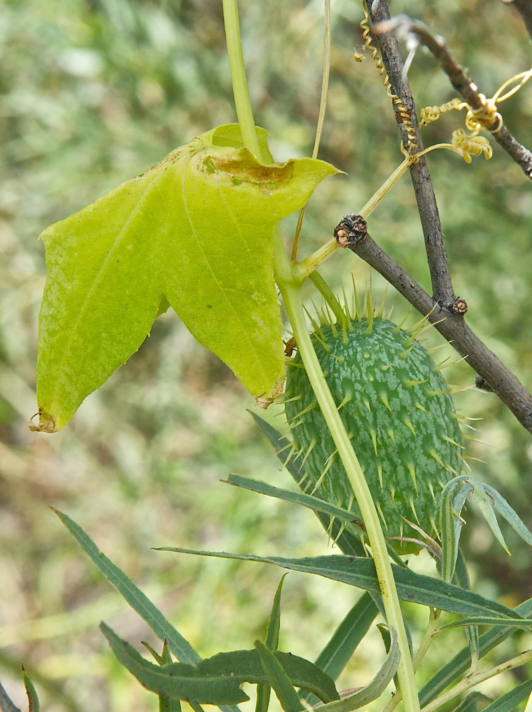 Mock Cucumber (Echinocystis lobata)