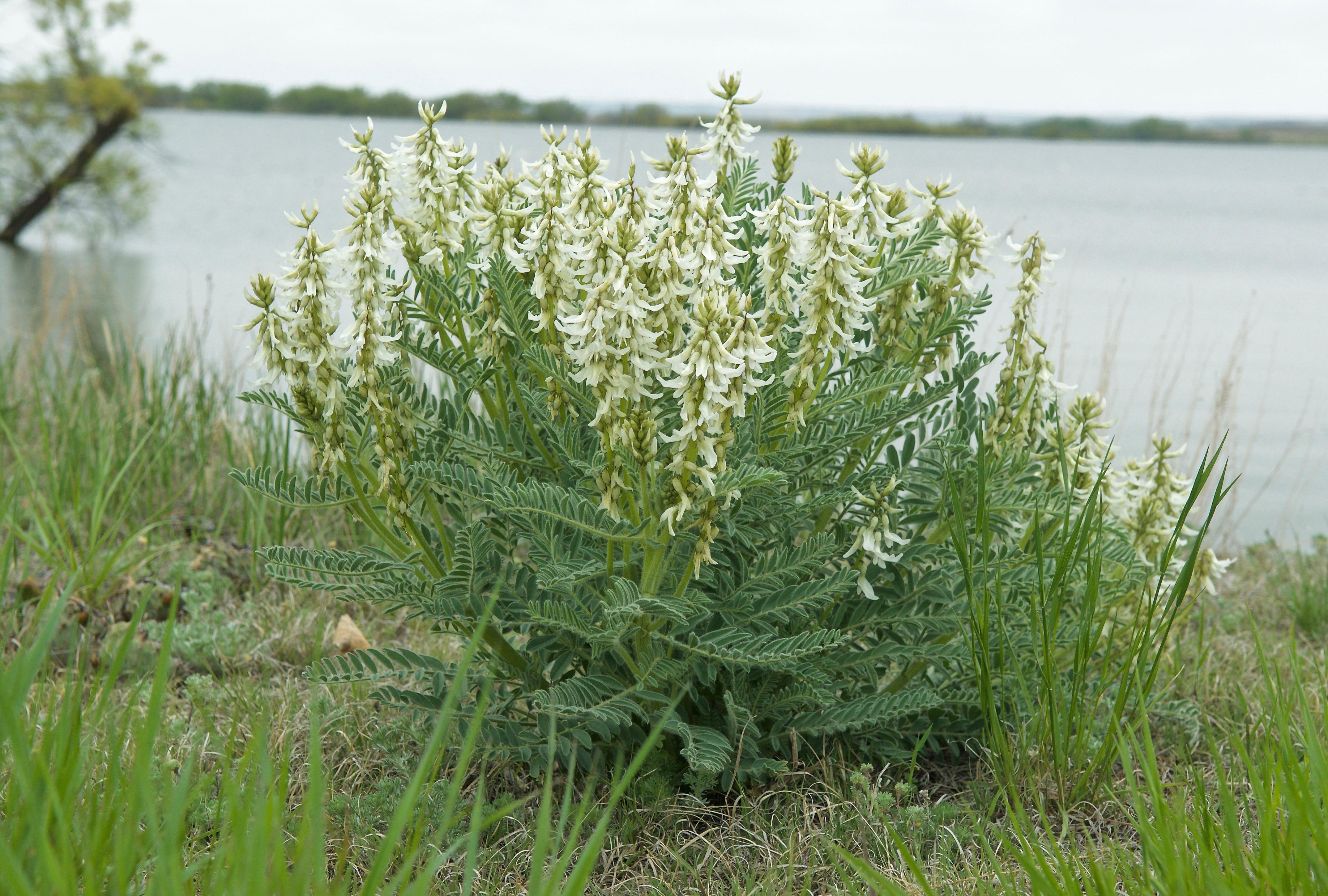 Drummond's Milkvetch (Astragalus drummondii)