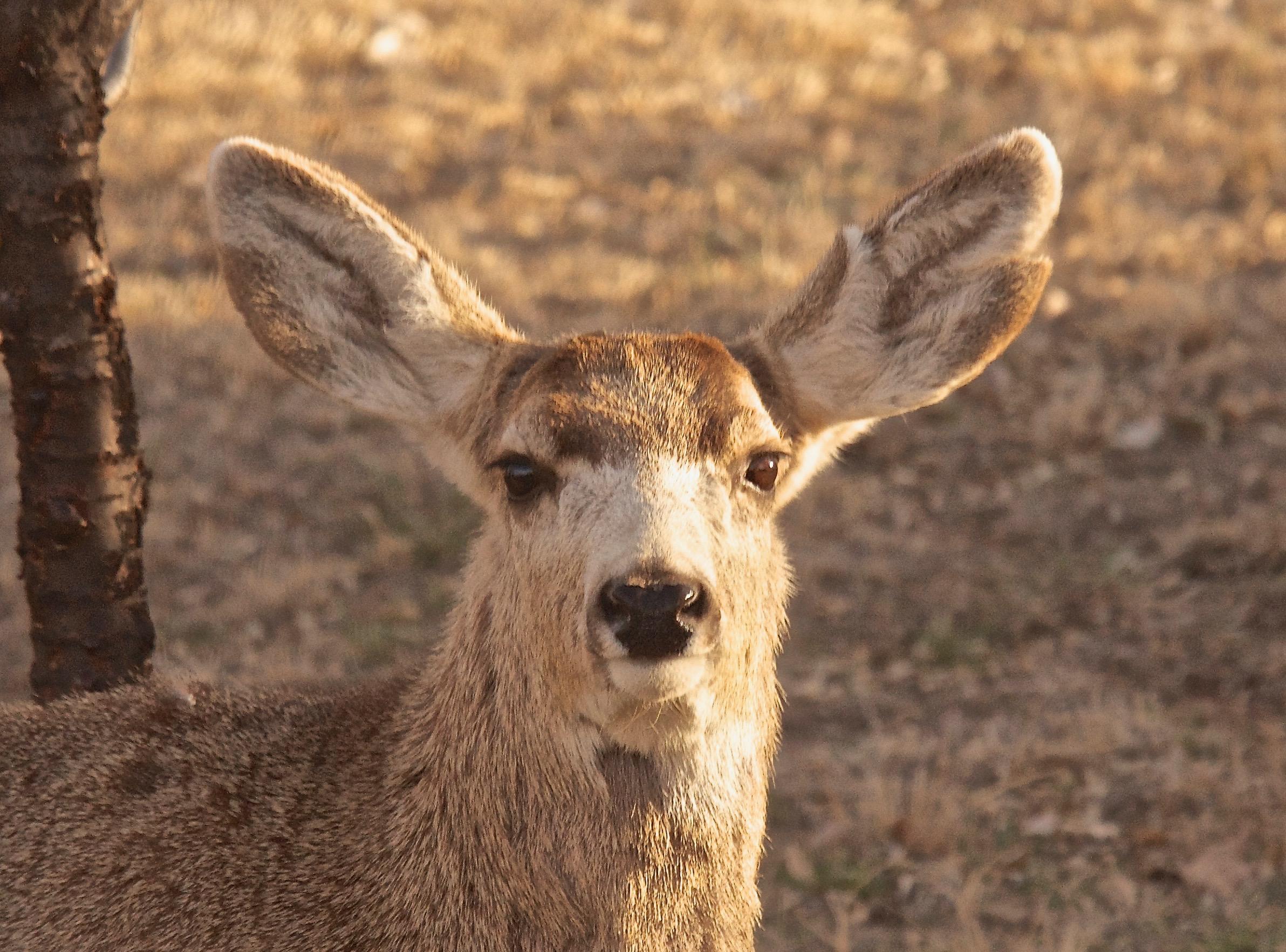 Mule Deer  3-18 (Split Ear)