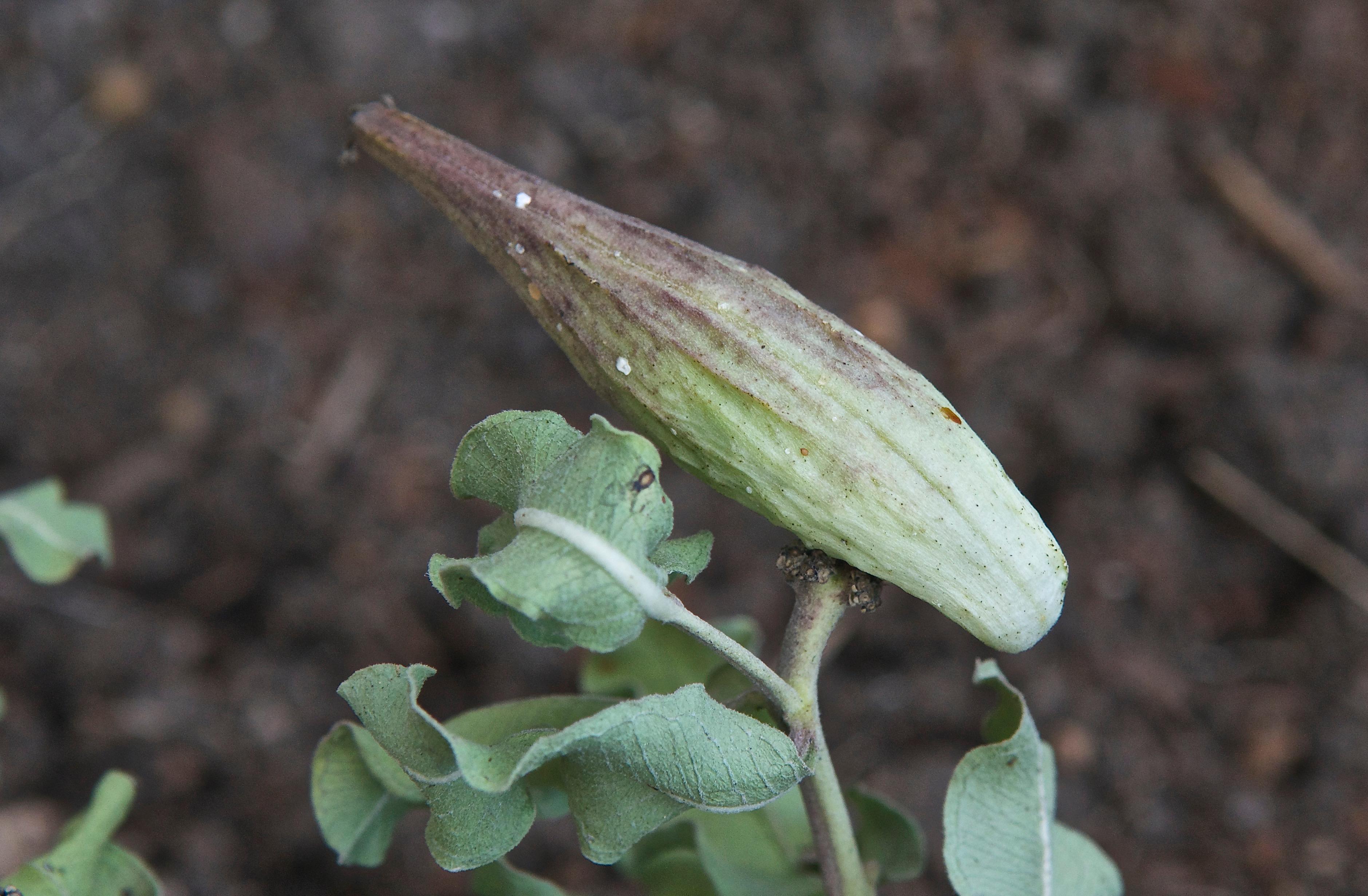 Green Milkweed (Asclepias viridiflora)