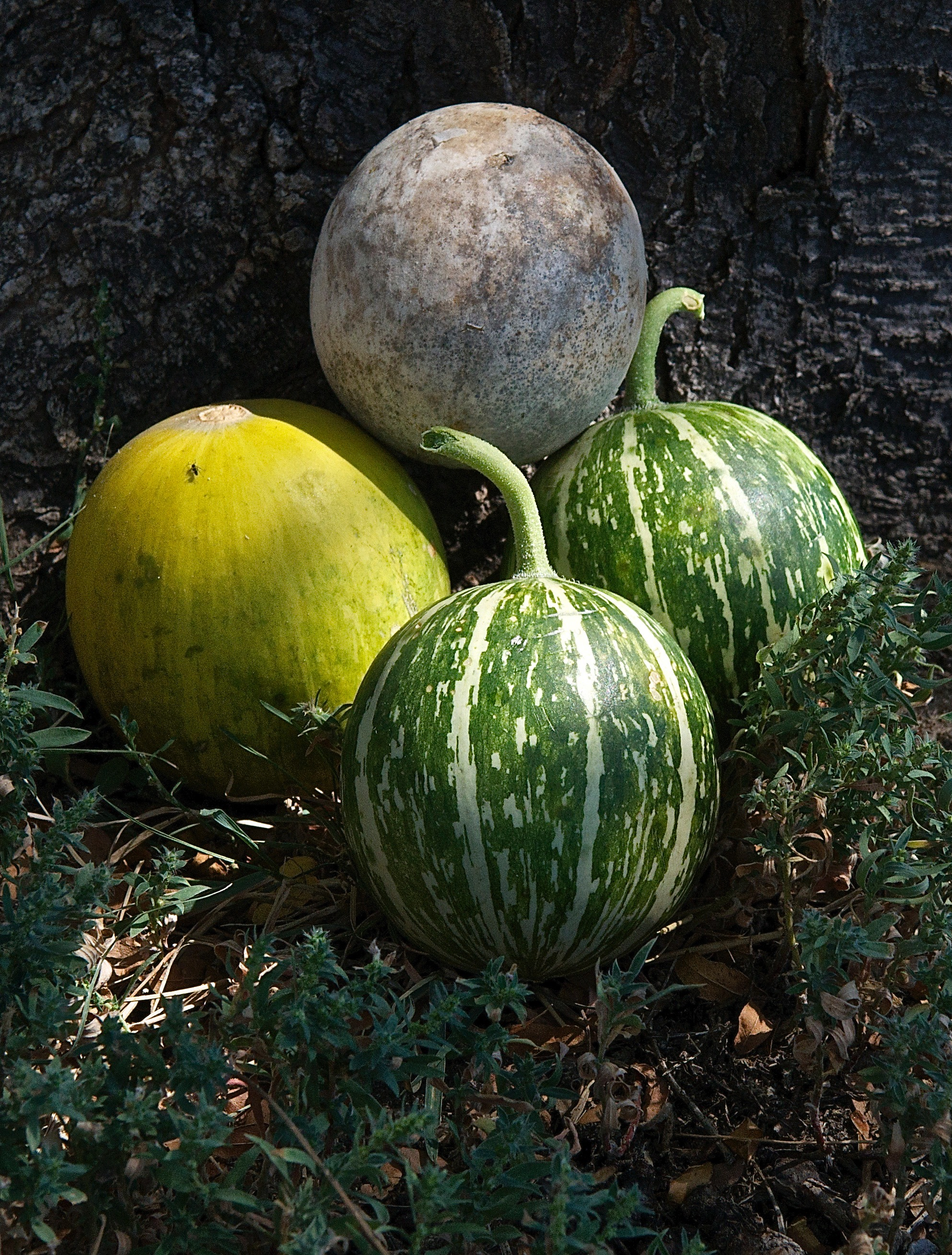 Buffalo Gourds