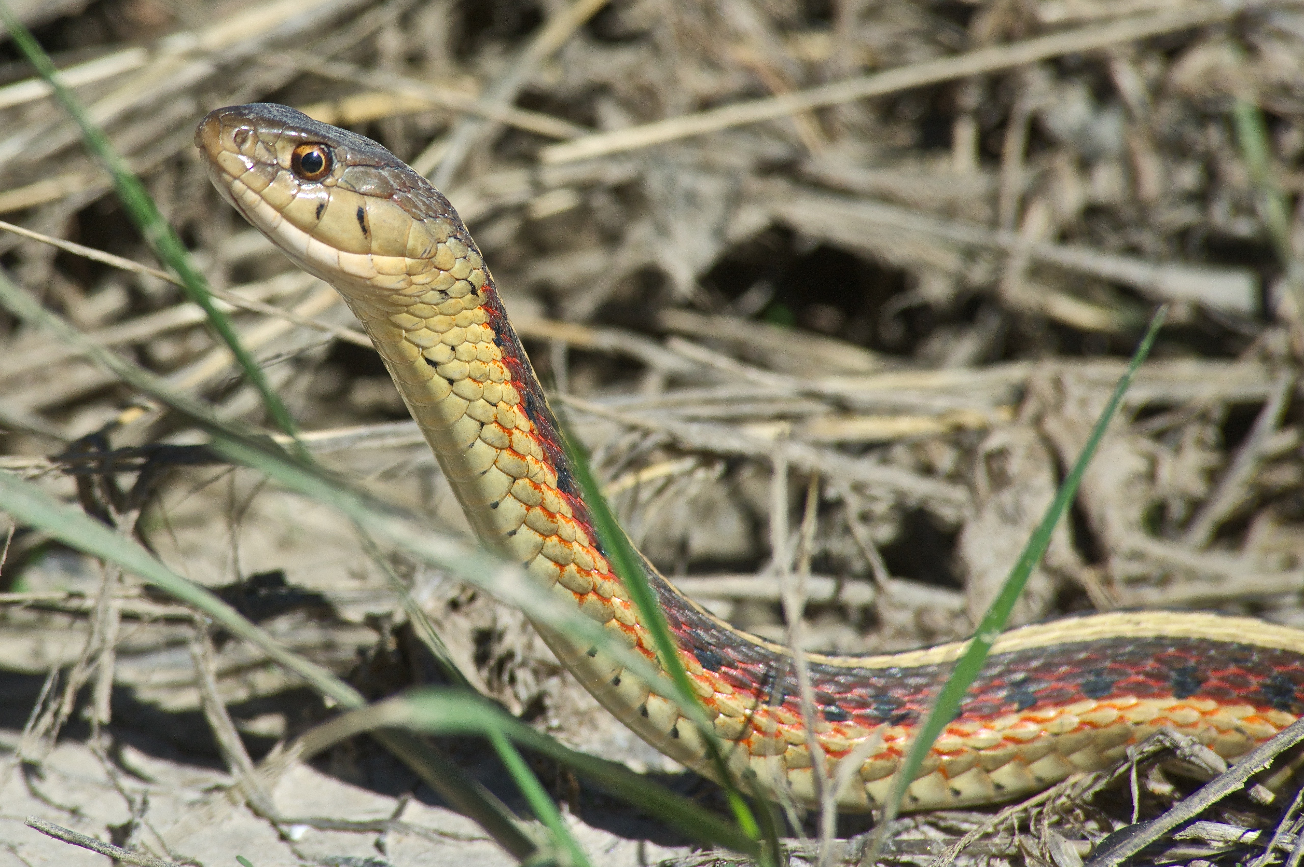 Red-Sided Garter Snake
