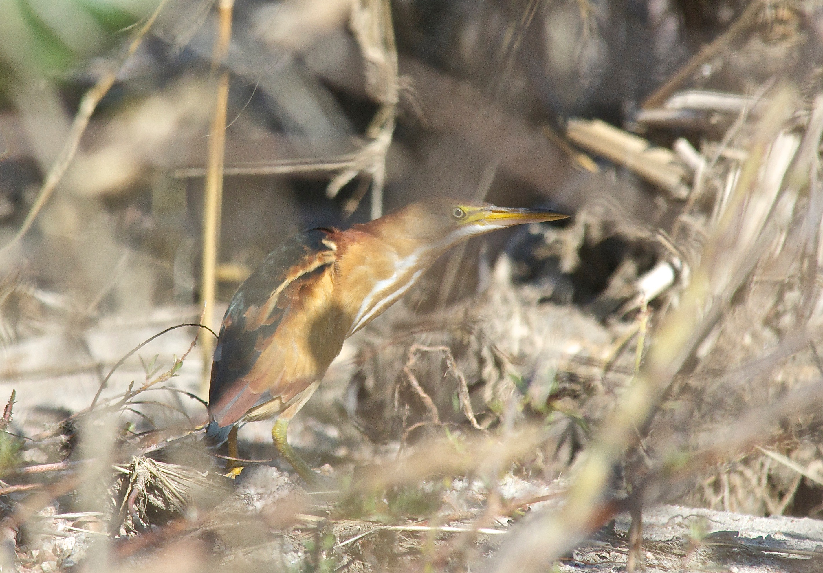 Green Heron (1st Summer)