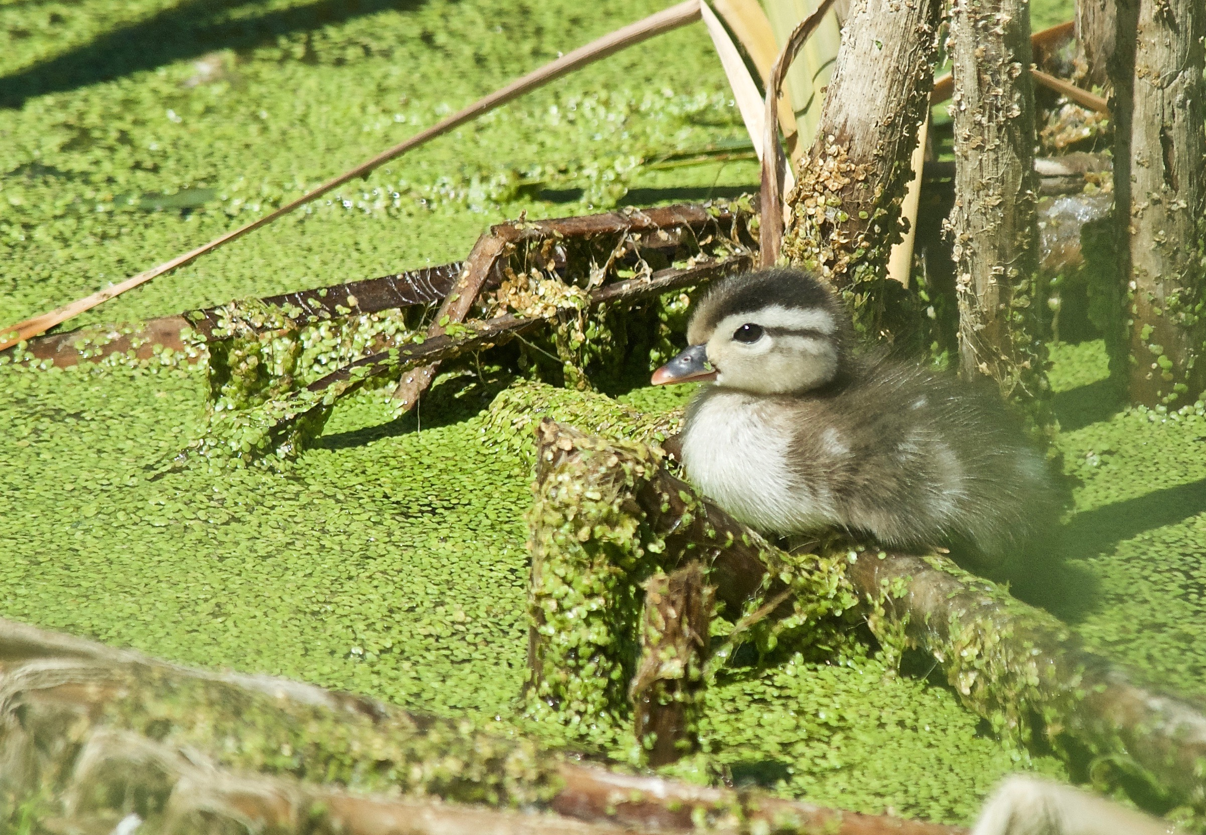 Baby Wood Duck on Cottonwood Pond (day 3 alone)