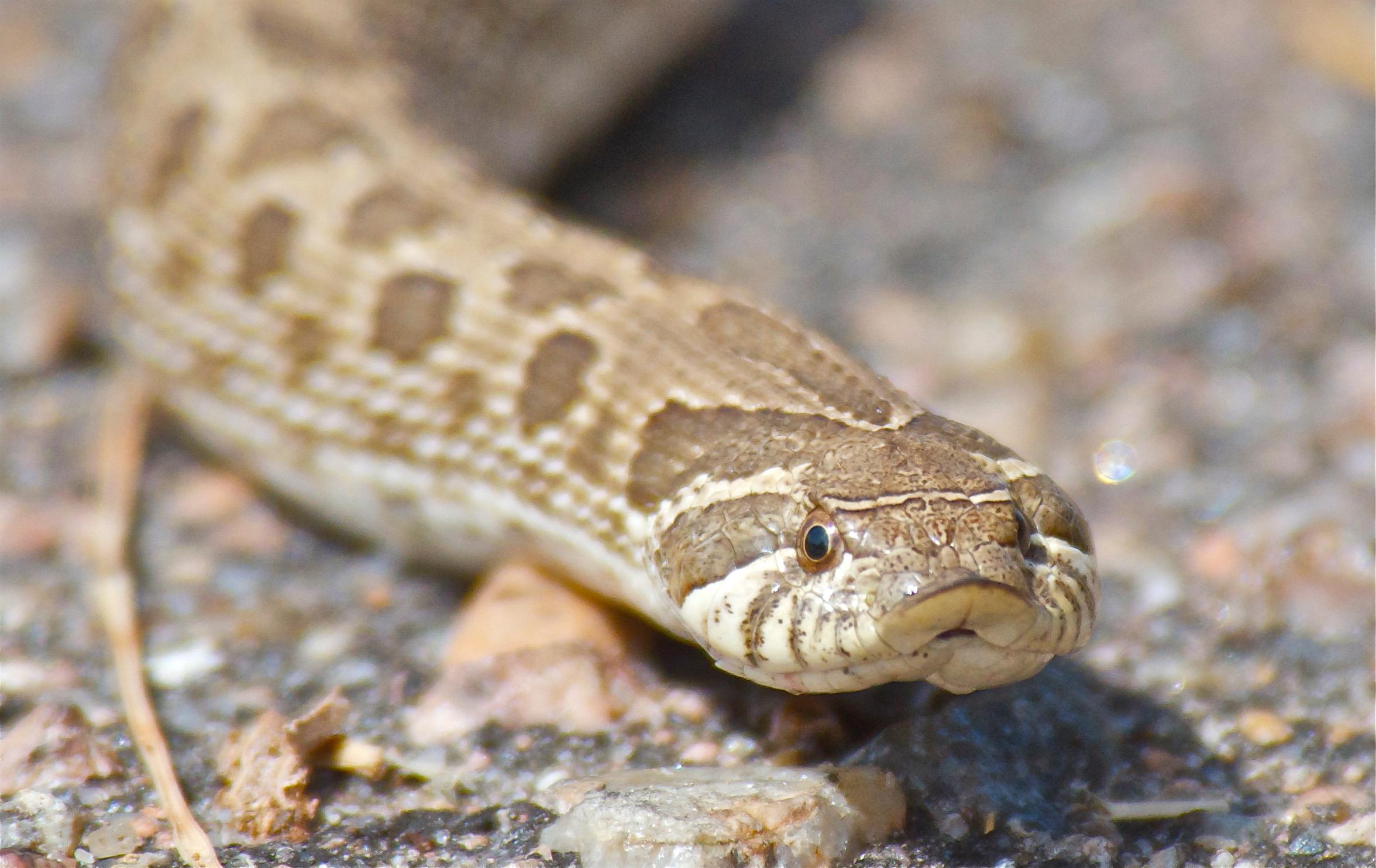 Hog-nosed Snake