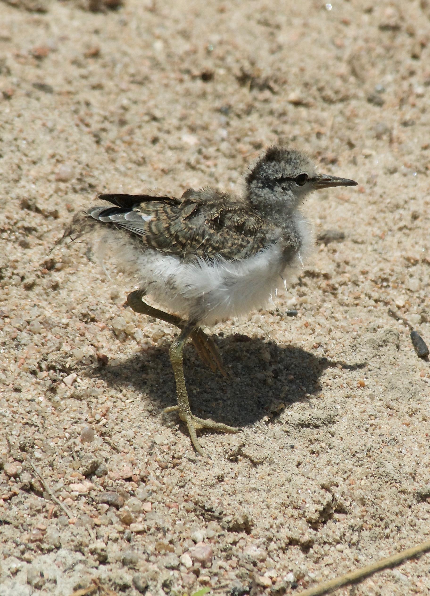 Spotted Sandpiper Fledgling