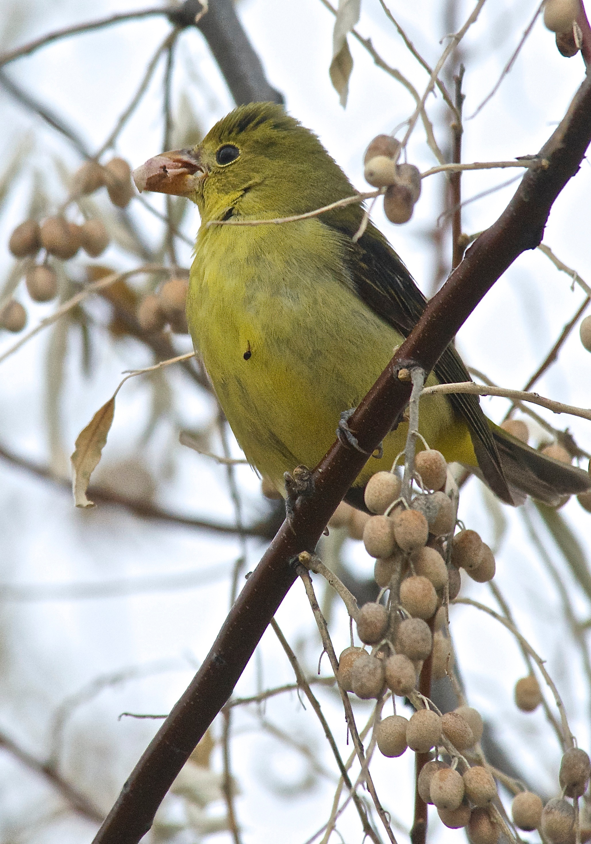 Scarlet Tanager ♀ (immature)