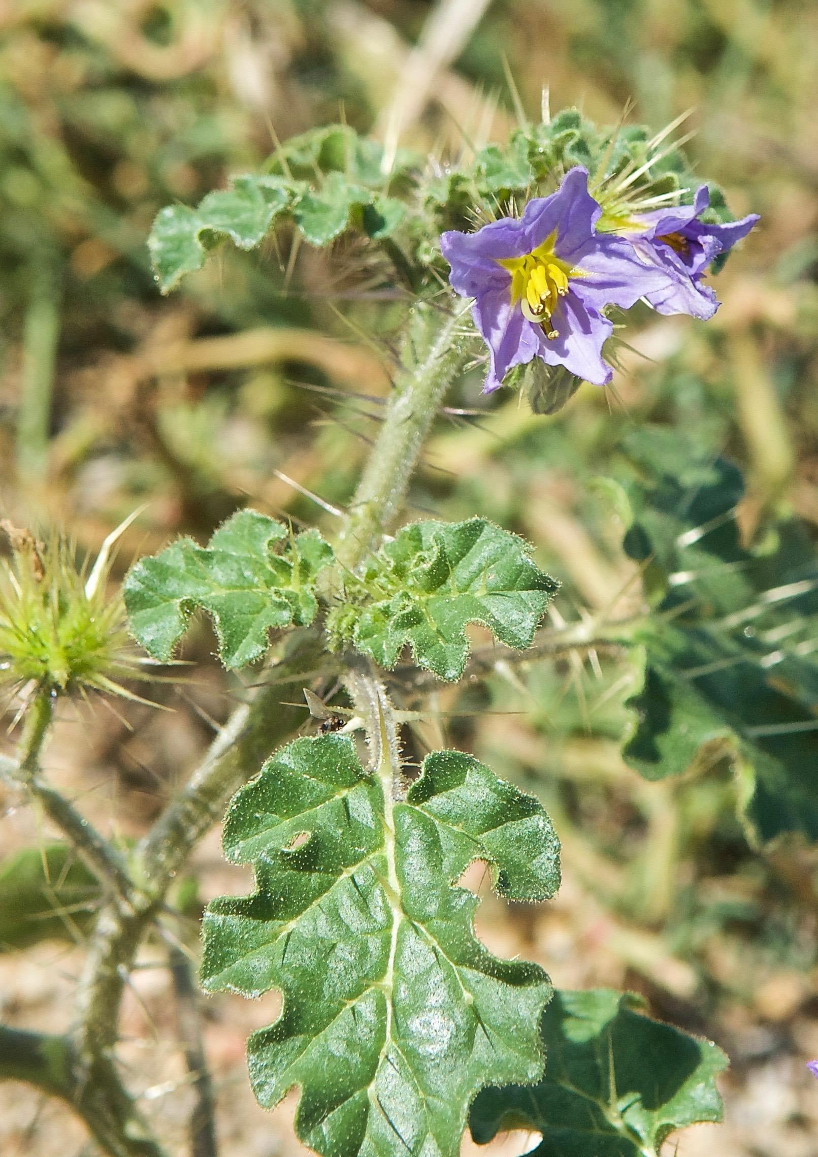 Melonleaf Nightshade (Solanum heterodoxum) (Noxious)