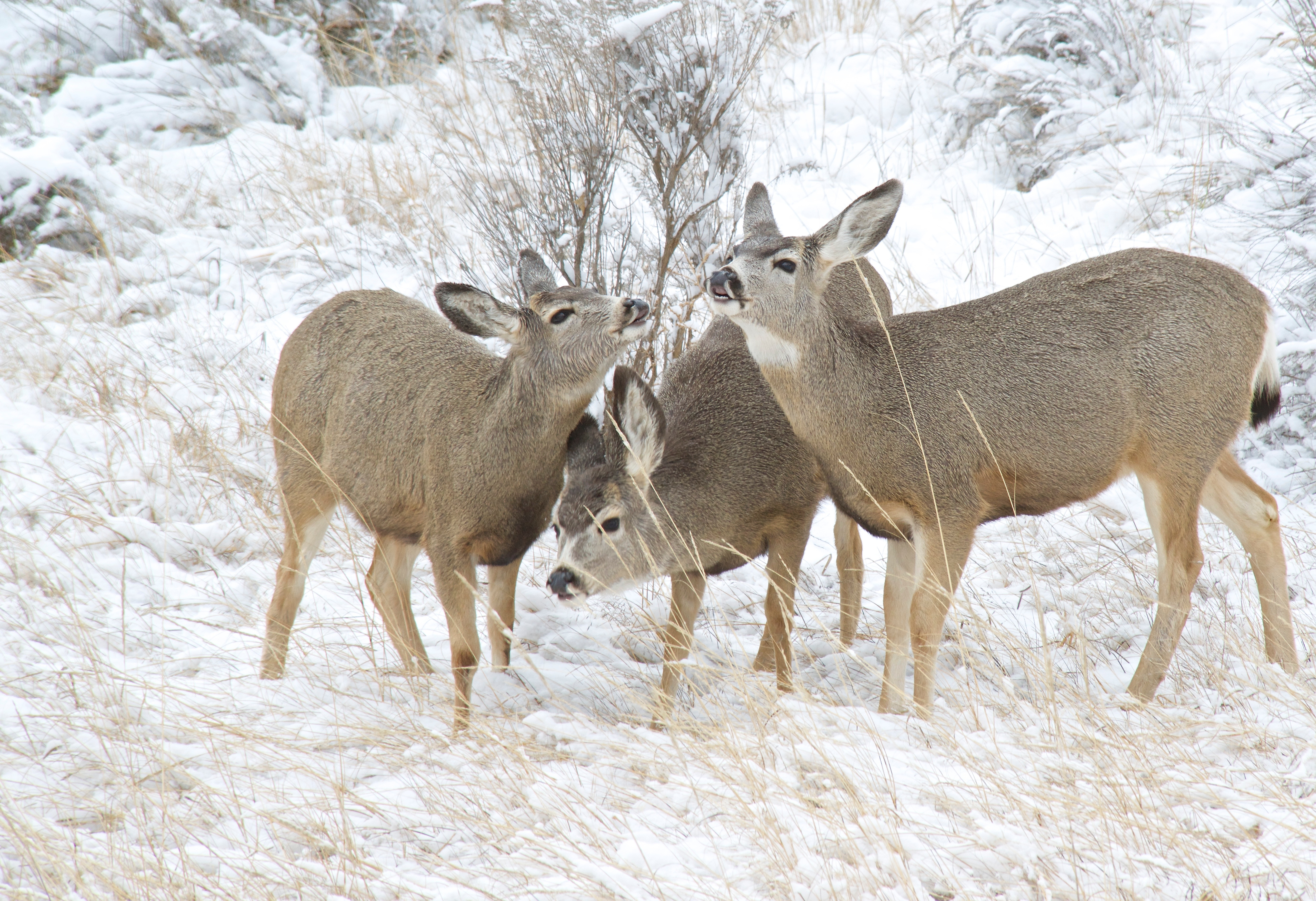 Mule Deer in Winter Blue