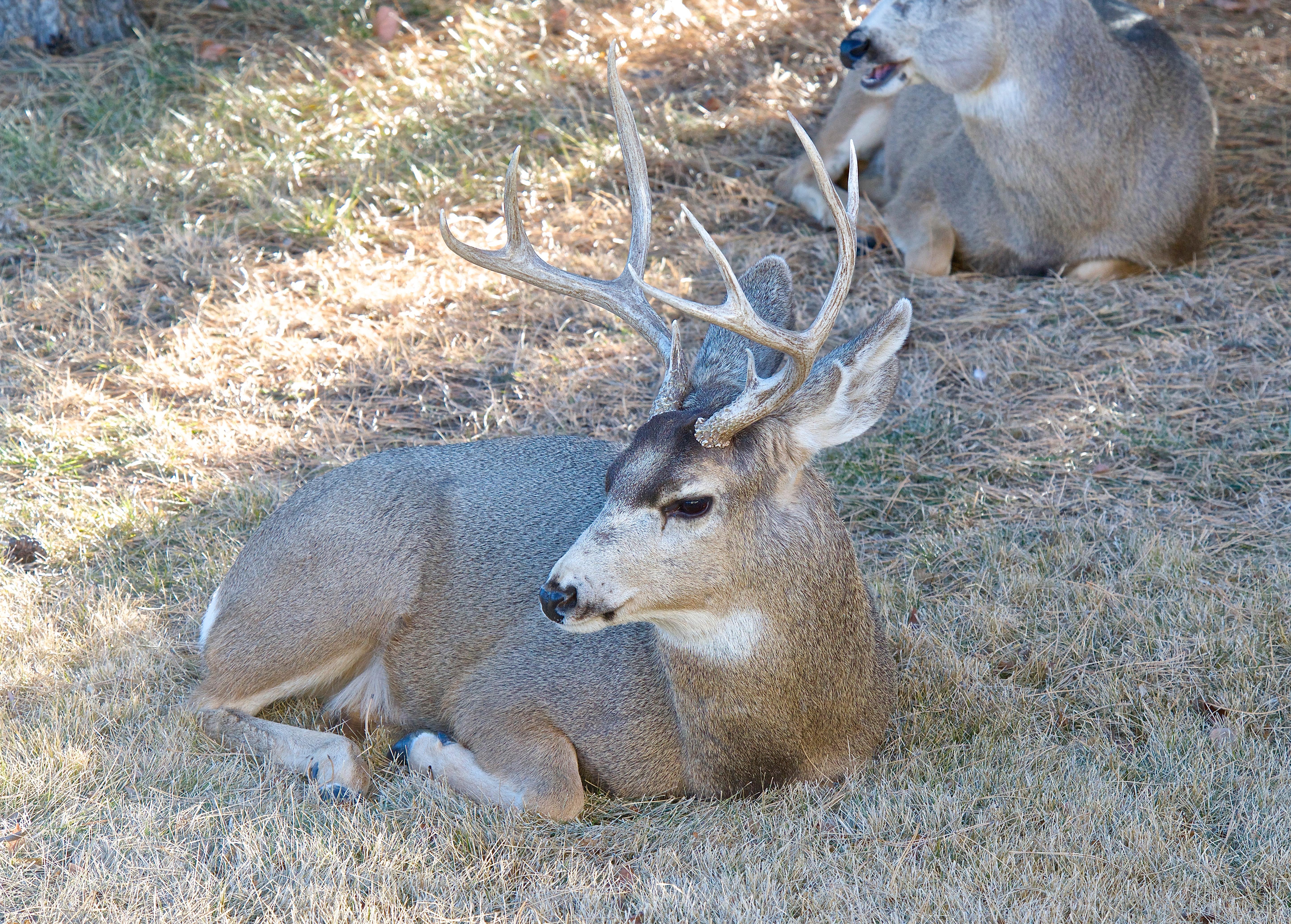 Mule Deer (Split Ear)
