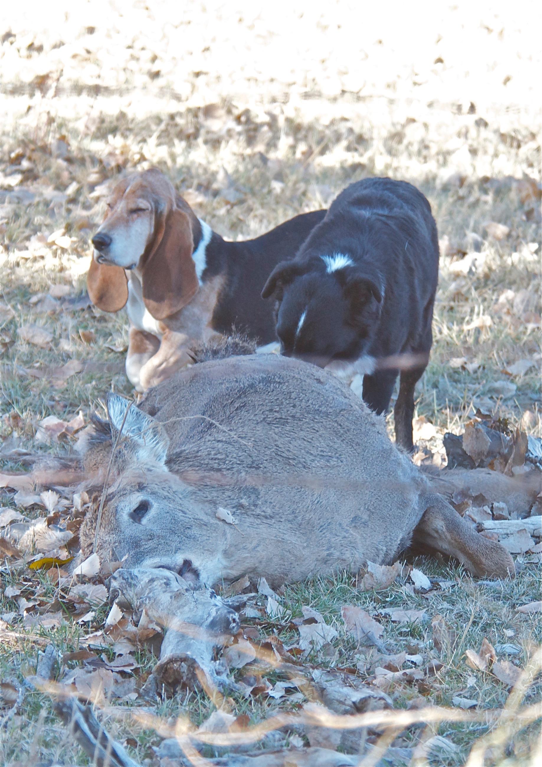 Dogs Eating Mule Deer