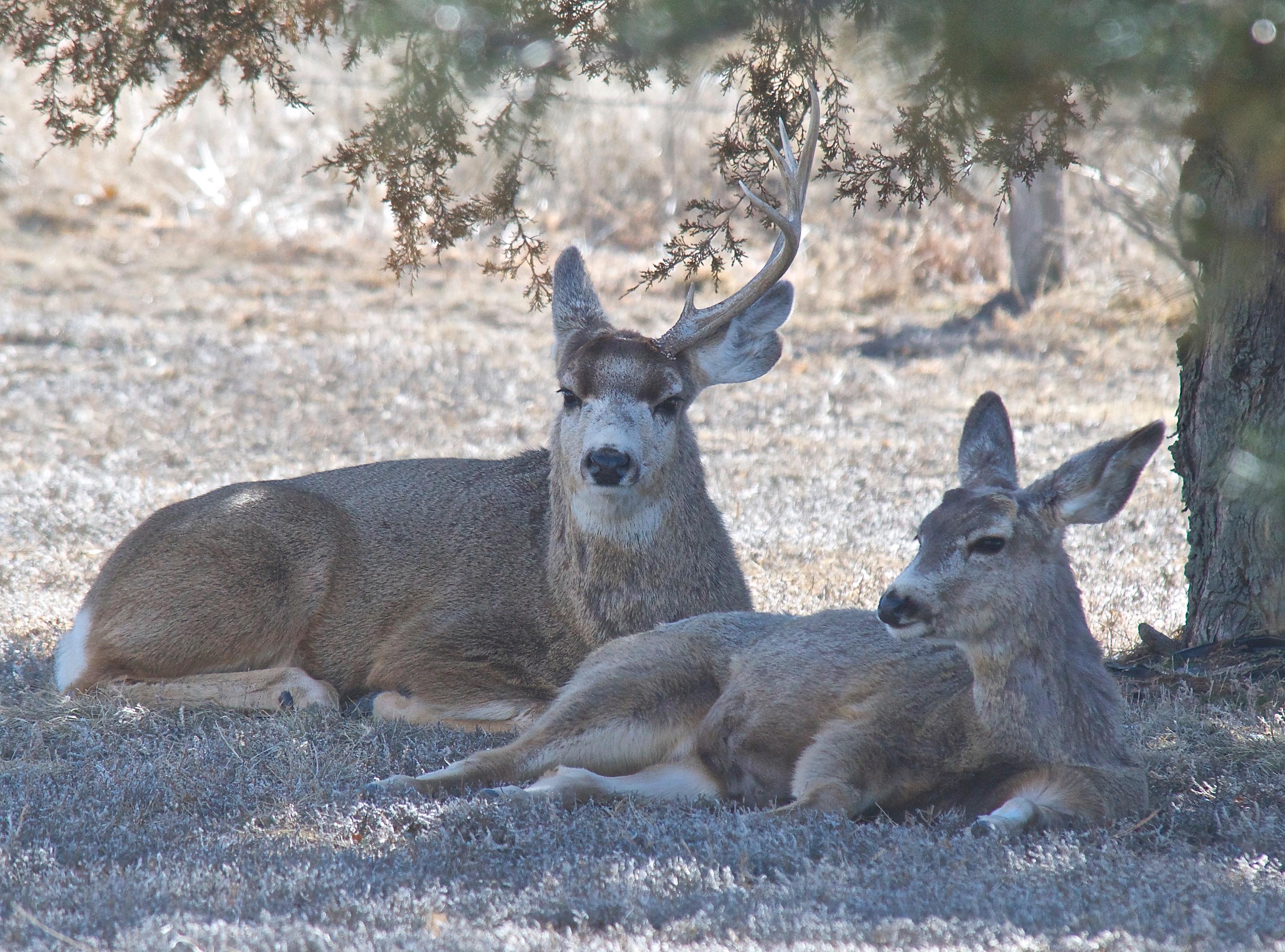 Mule Deer (Split Ear with one Antler) (3-3-14)