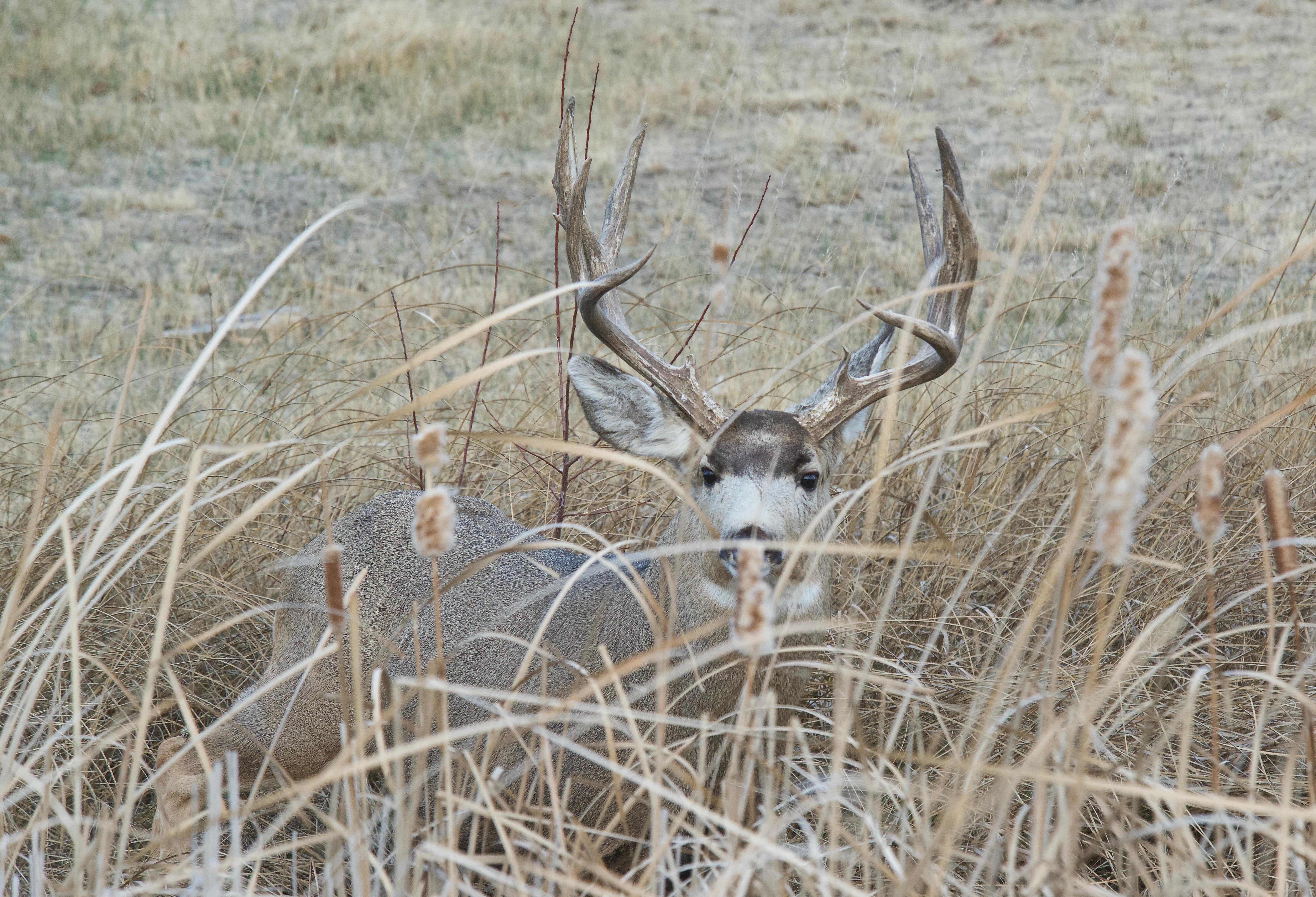 Mule Deer (Pergect Rack)