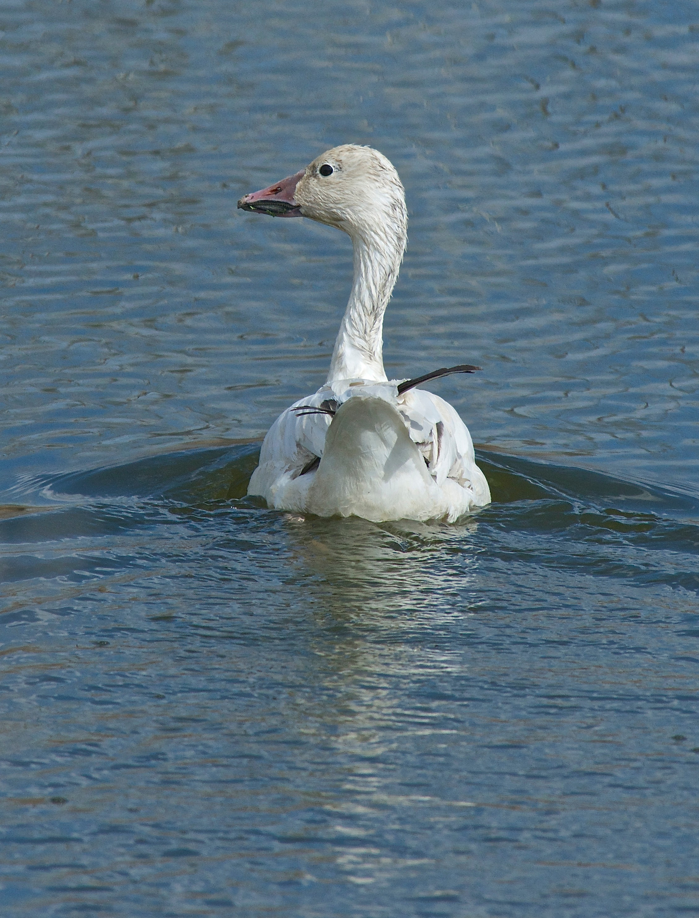 Lone Snow Goose (at river pond)