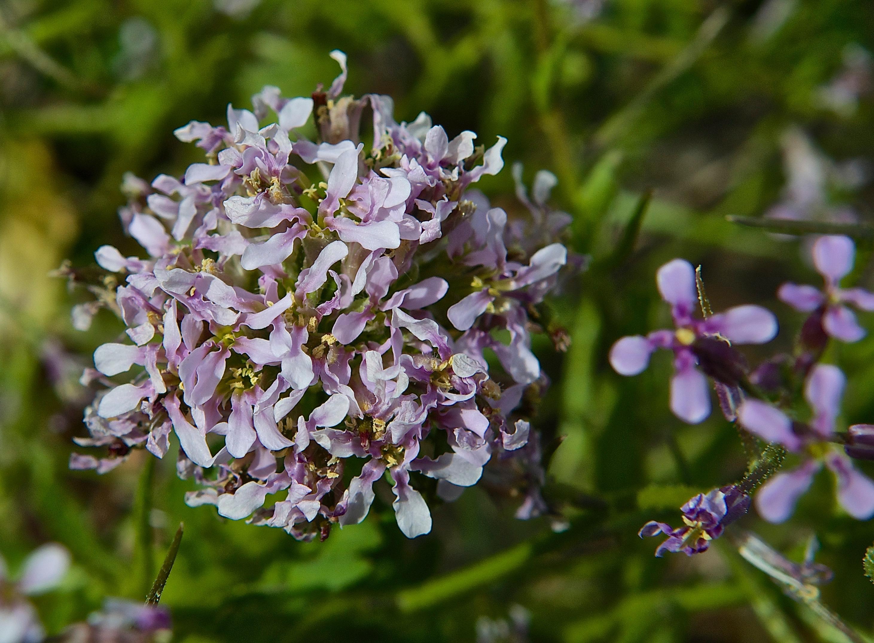 Blue Mustard (Chorispora tenella) Bouquet