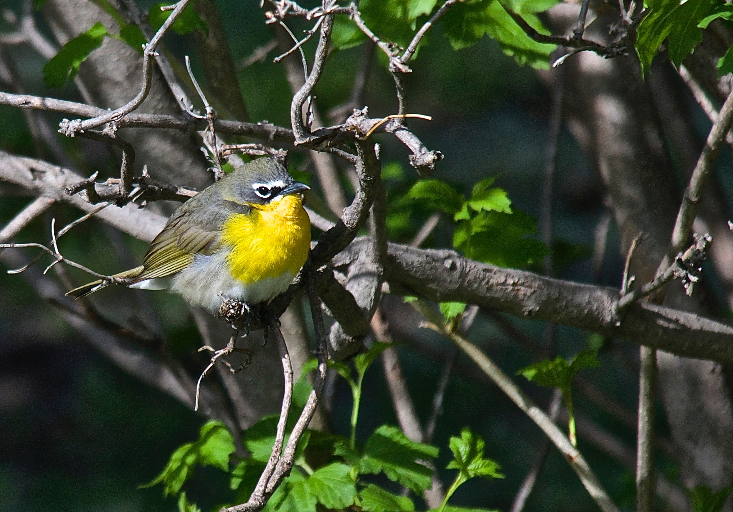 Yellow-Bellied Chat