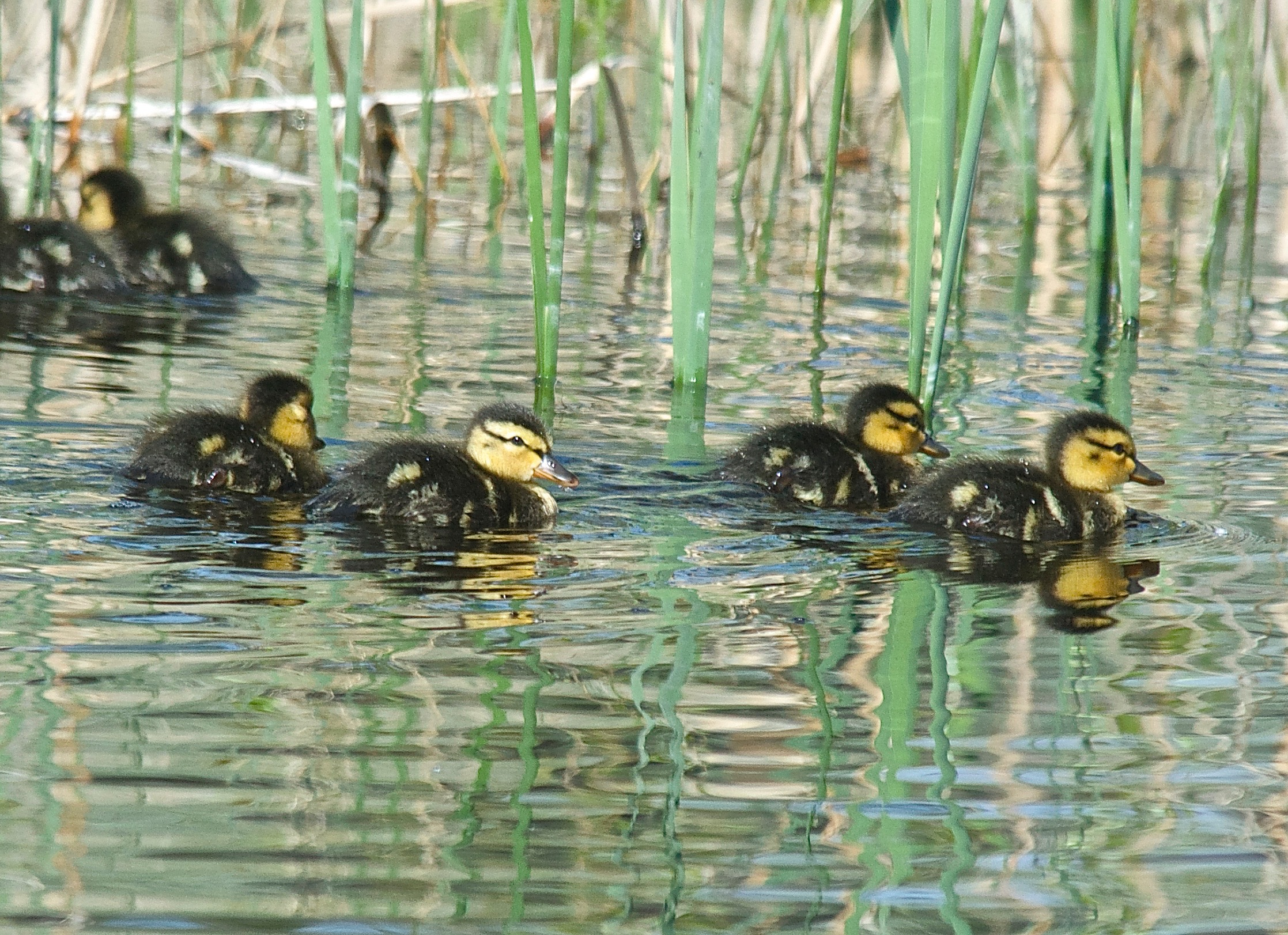 Two-Day-Old Mallards