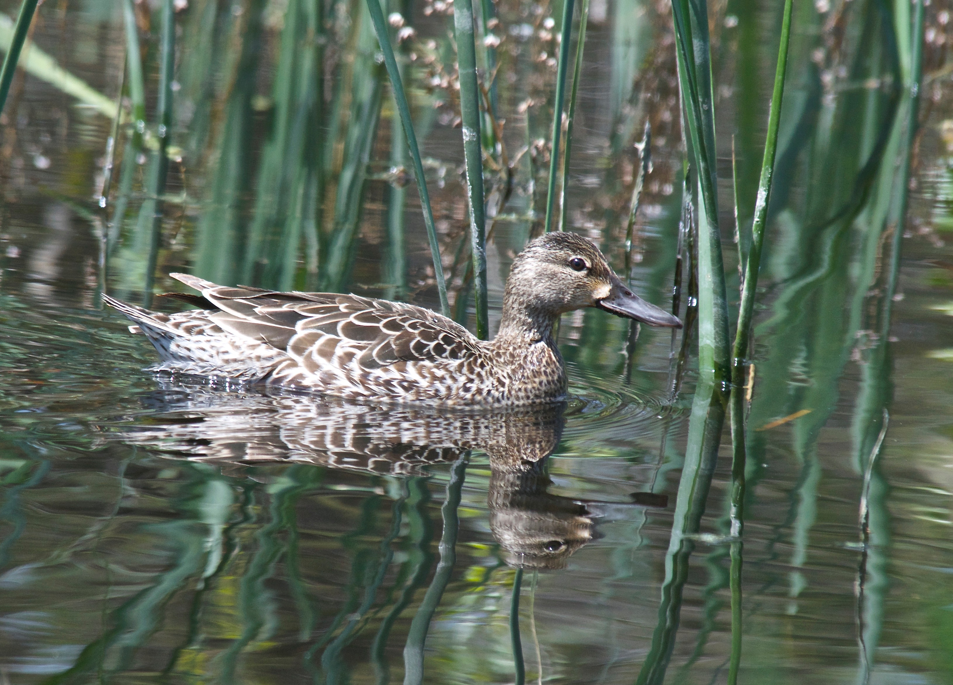 Blue-Winged Teal ♀