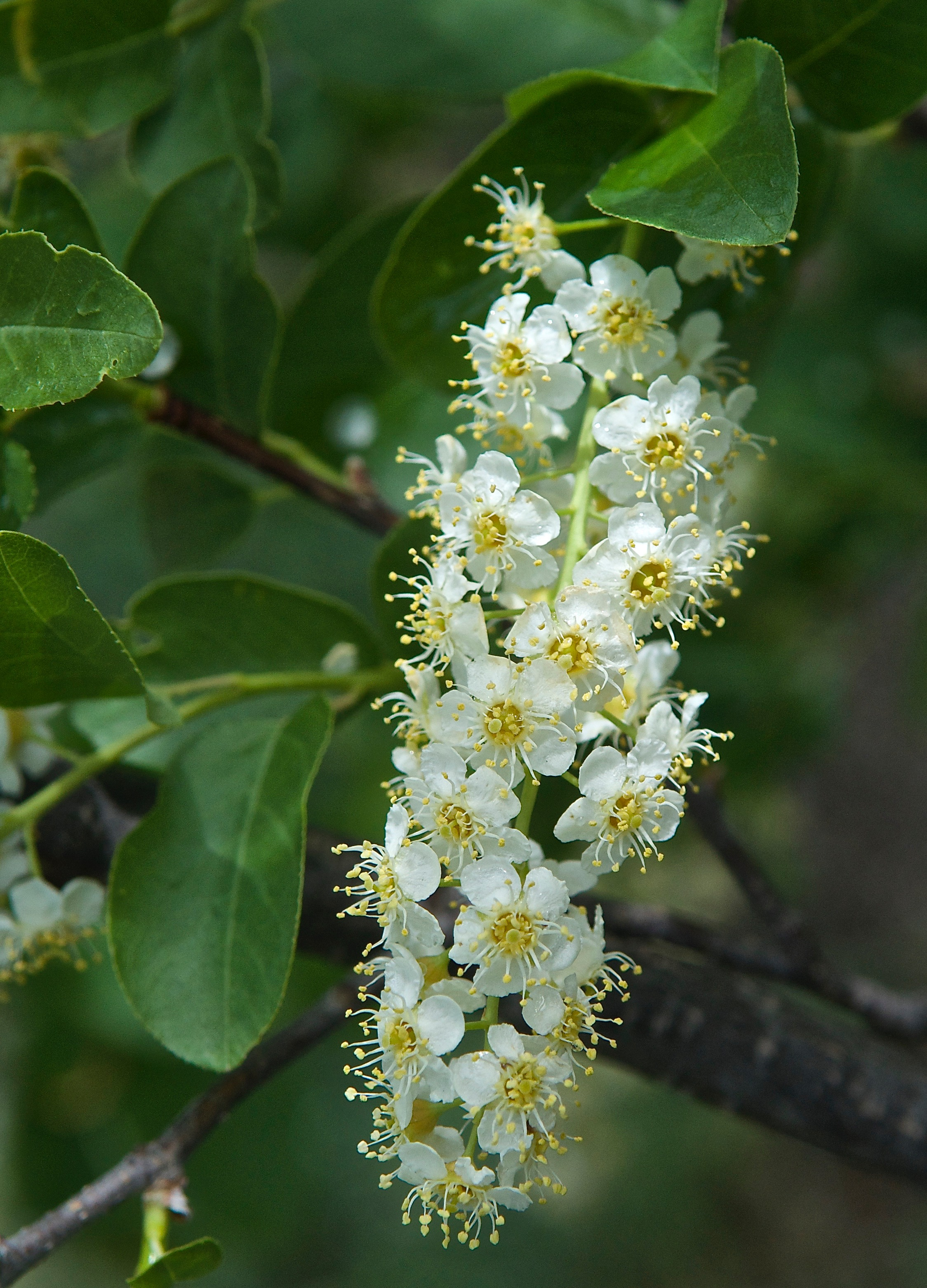 Chokecherry (Padus virginiana) Backyard