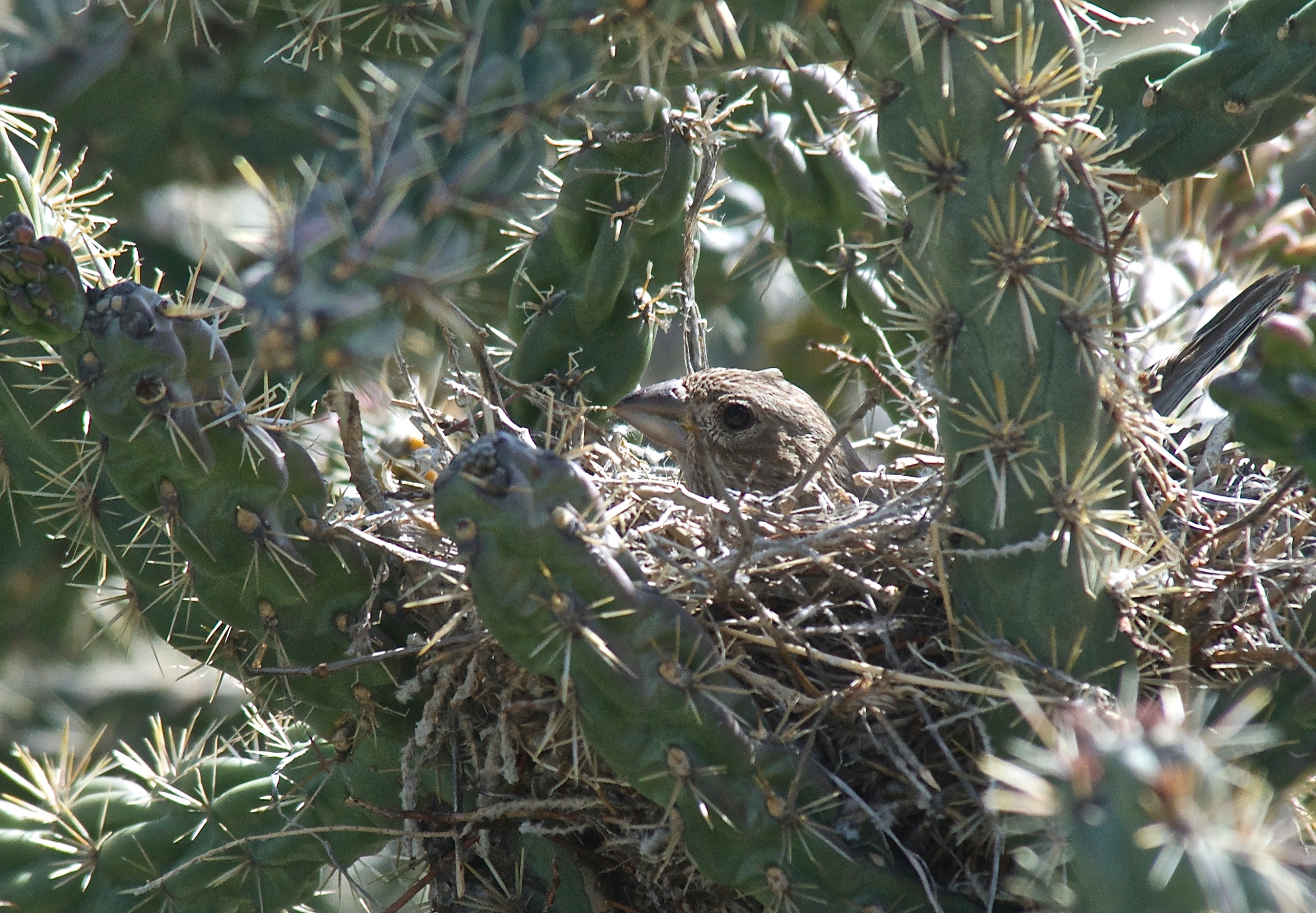 House Finch on Nest