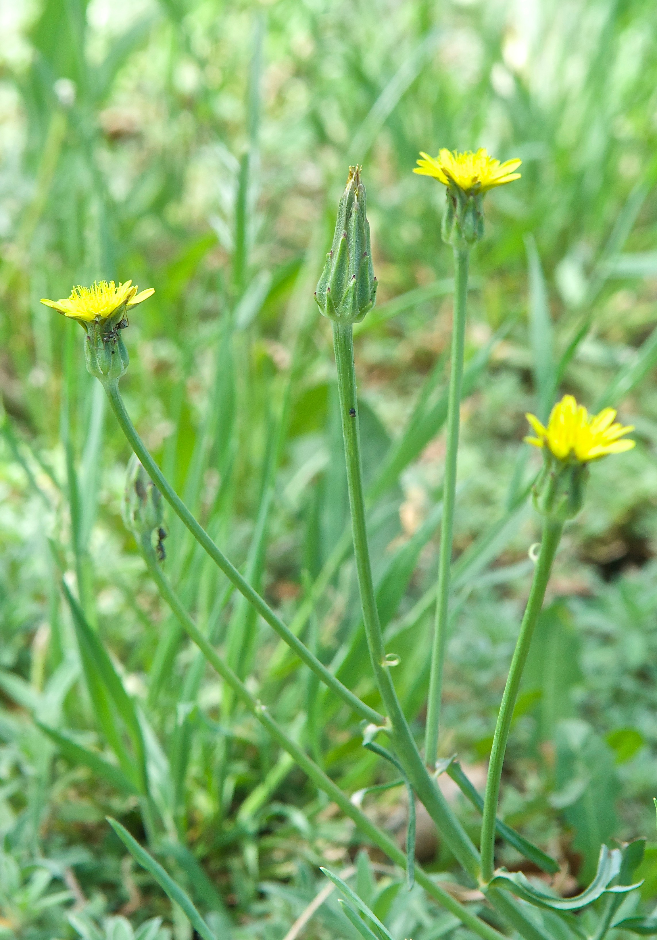 False salsify (Scorzonera laciniata) (Introduced)