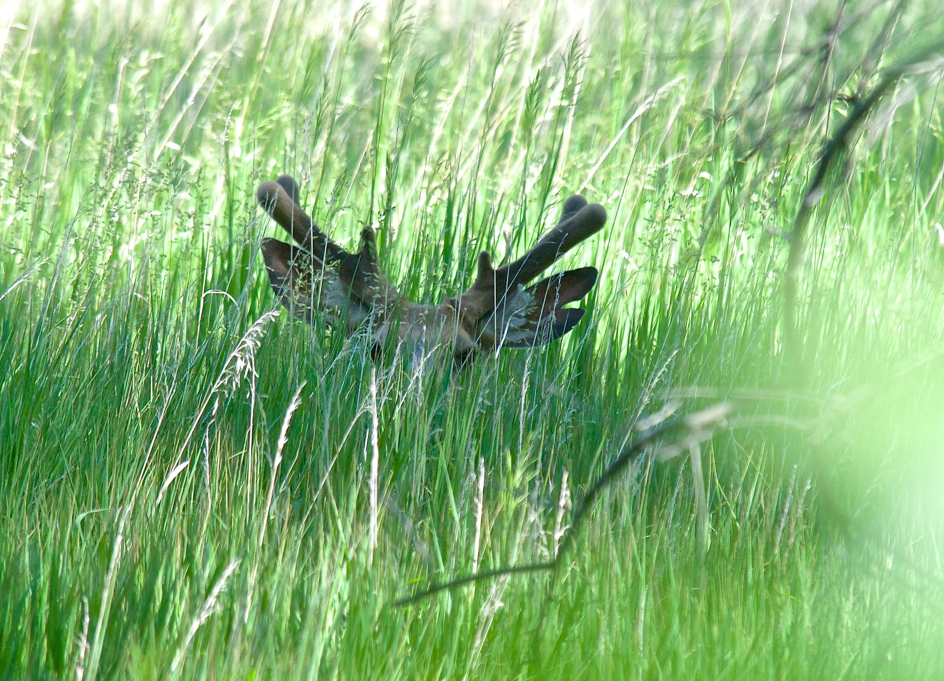 Split Ear (Mule Deer)