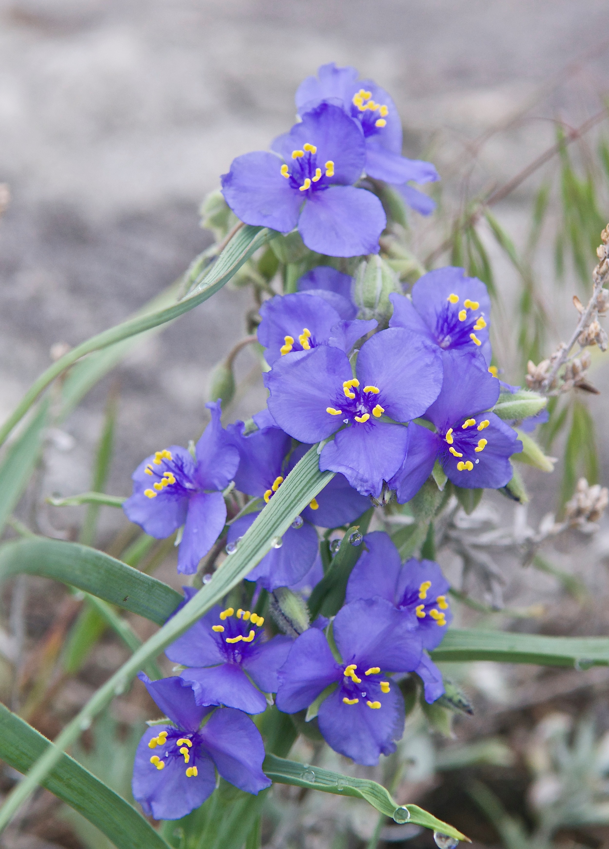 Western Spiderwort  (Tradescantia occidentalis)