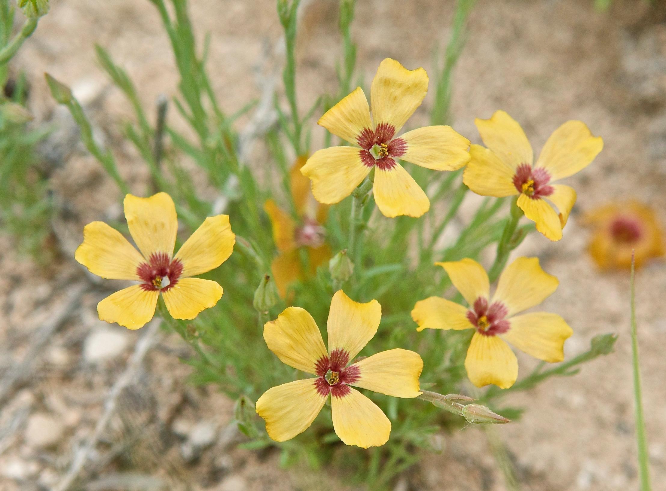 (Plains Flax) Linum puberulum or Mesynium puberulum