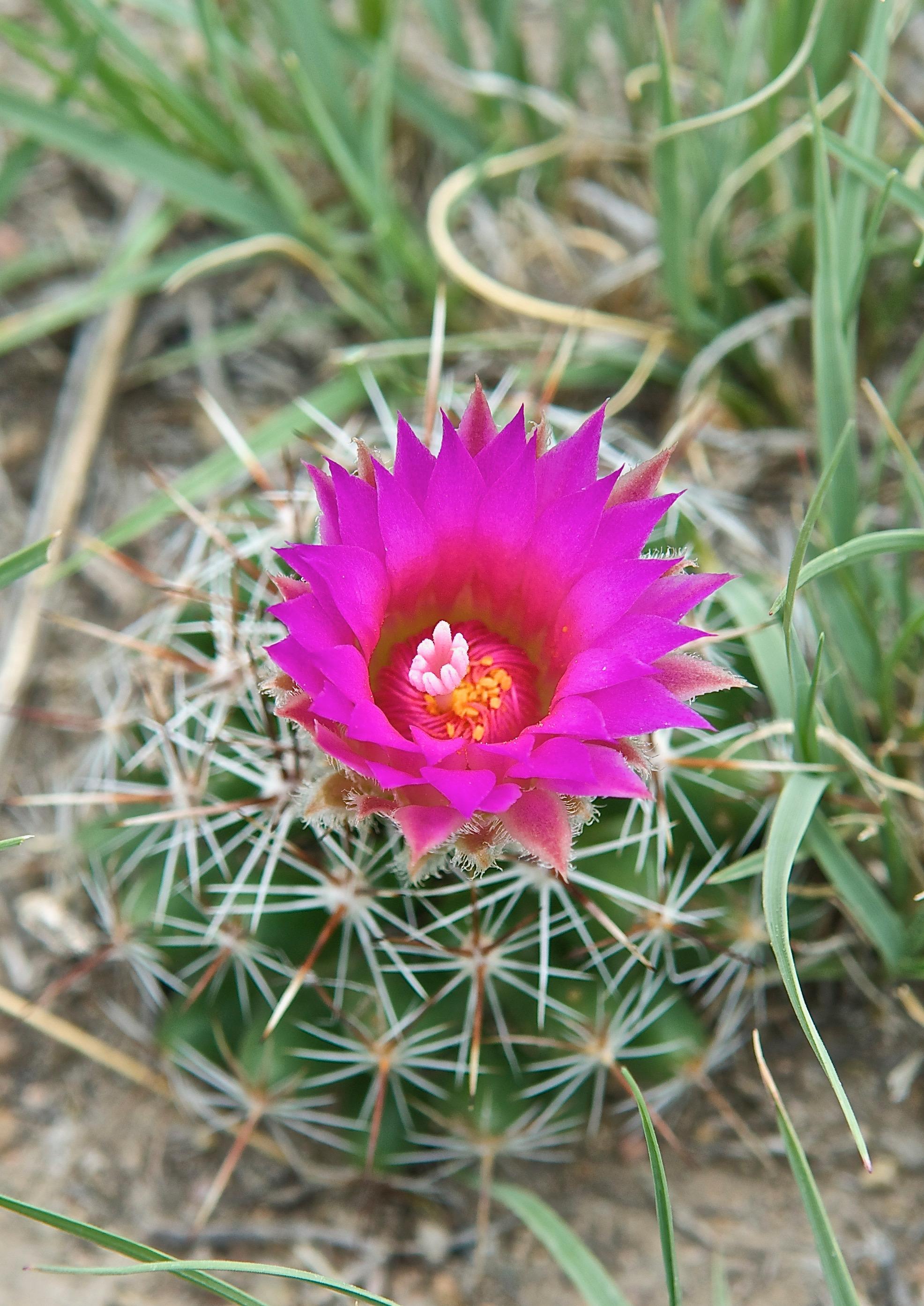 Pincushion Cactus (Coryphantha vivipara)